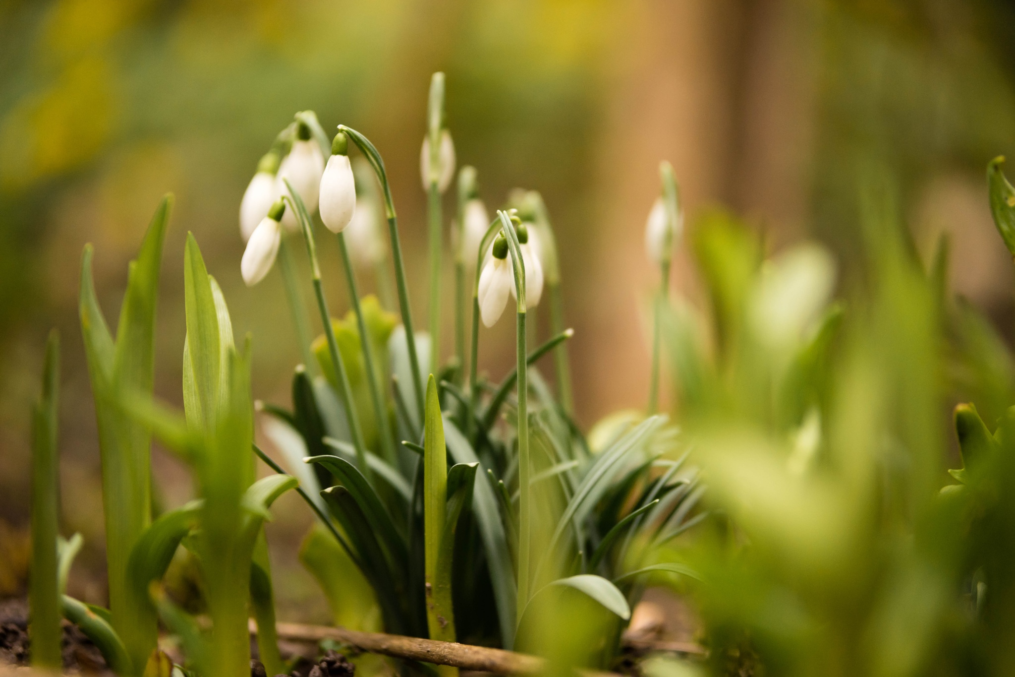 Photo in Nature #snowdrops #snow #drops #february #plant #plants #nature #flower #white #green