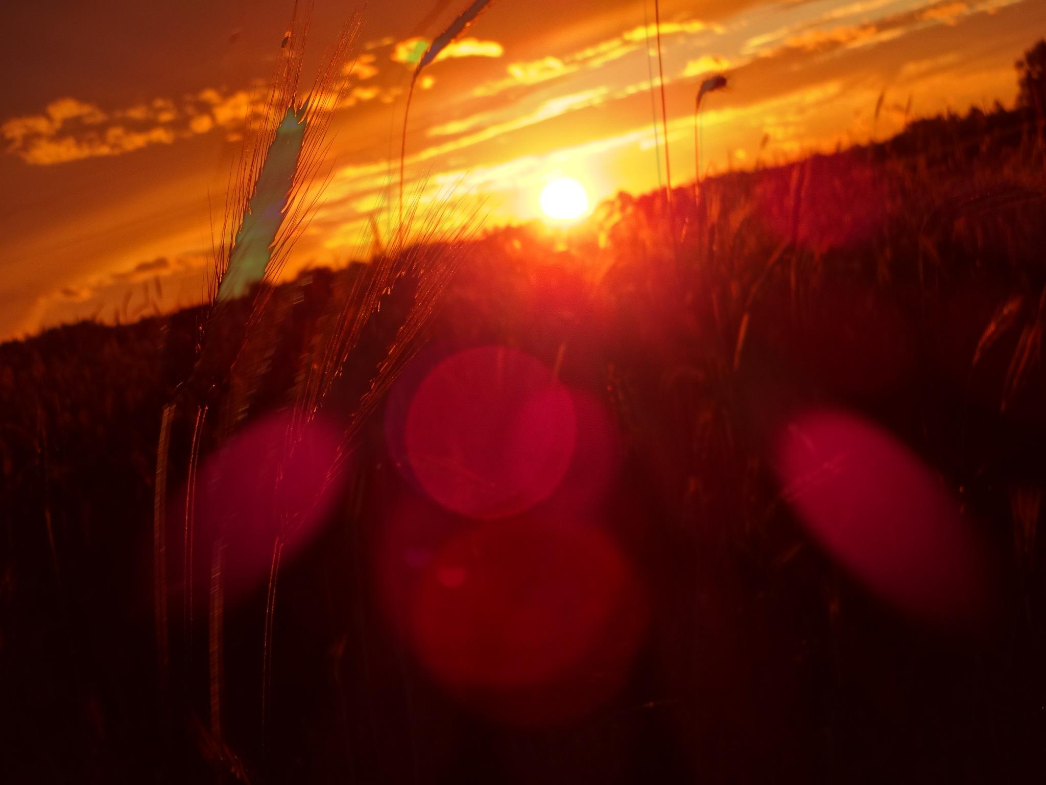 Photo in Landscape #evening #sunset #red #lens glare