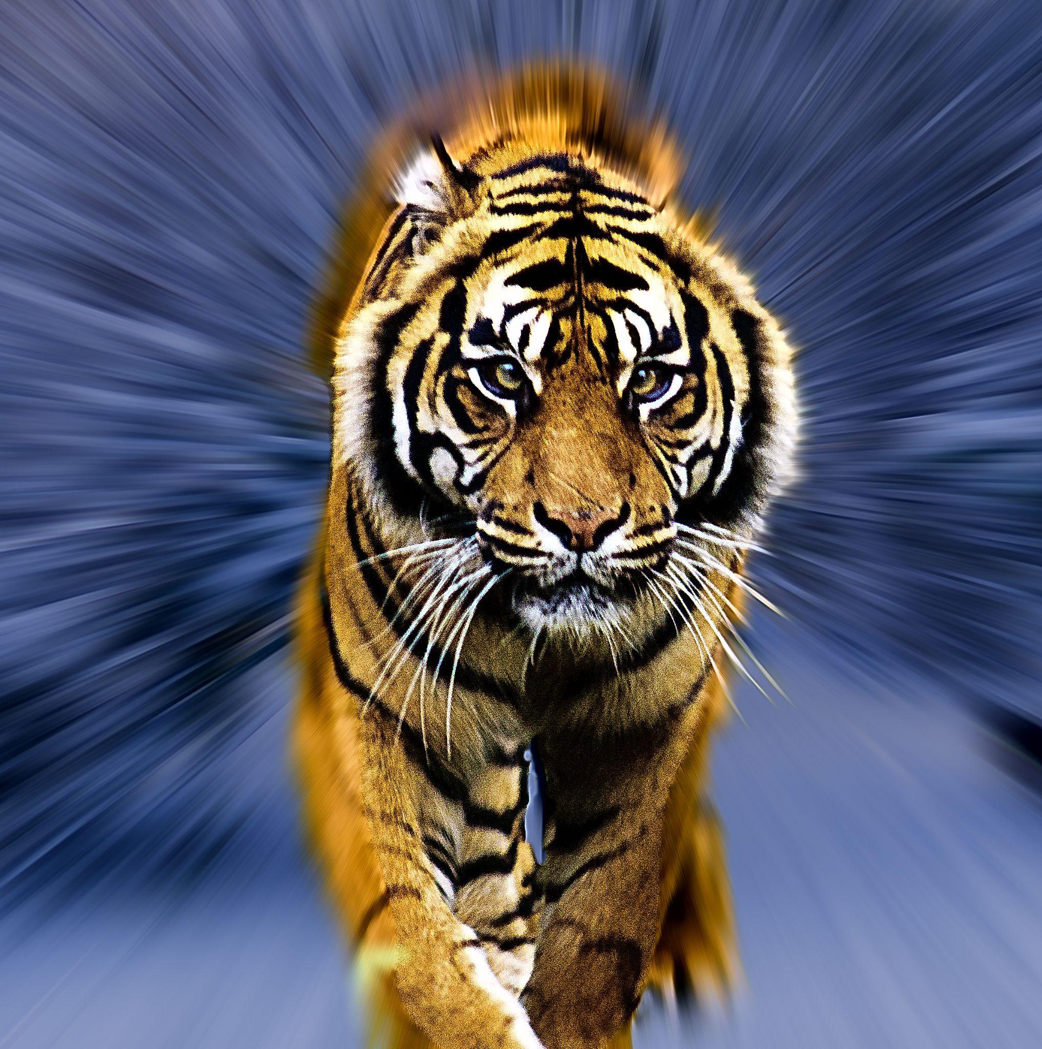 Tiger in snow by David Owen