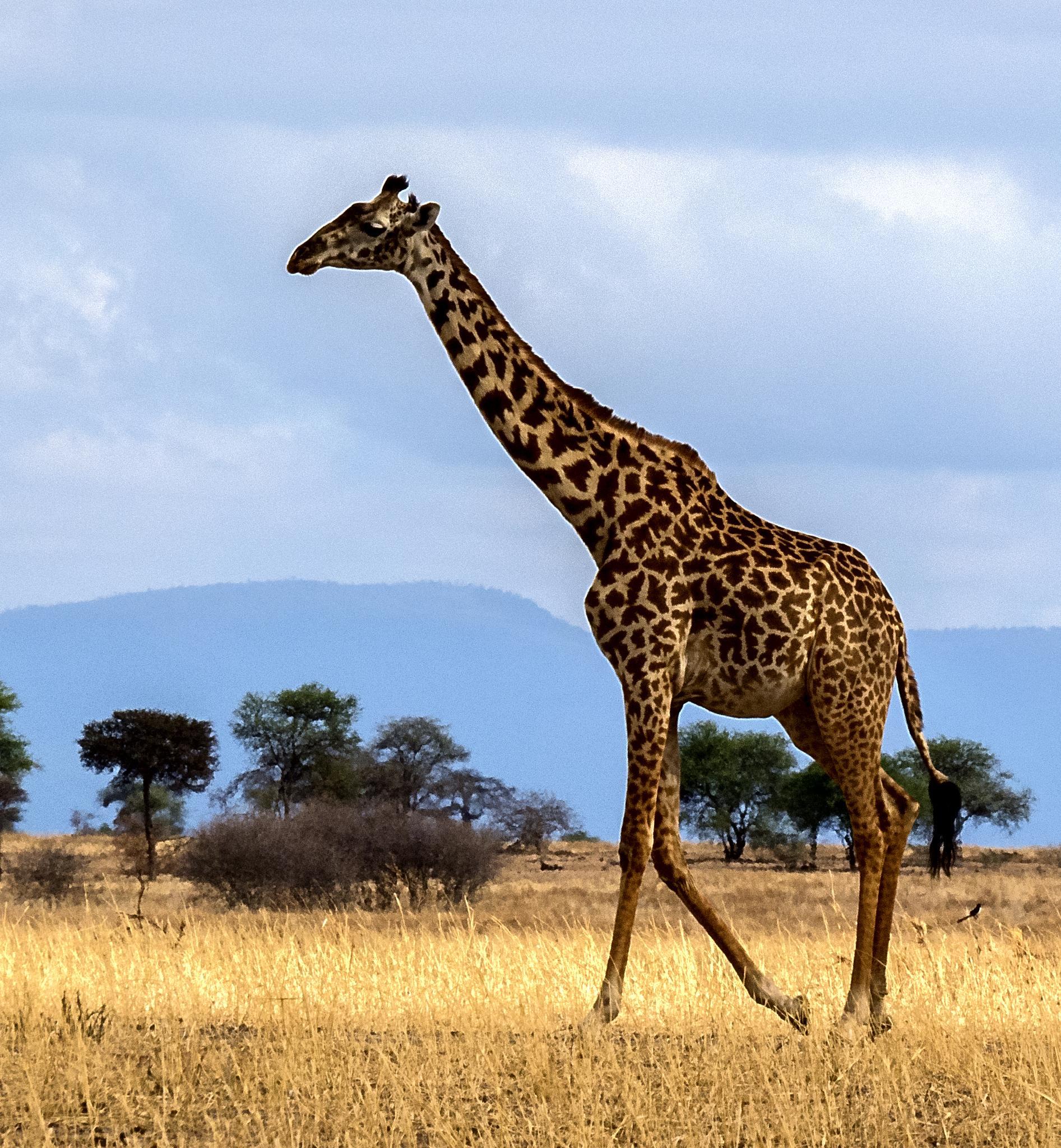 Giraffe by David Owen