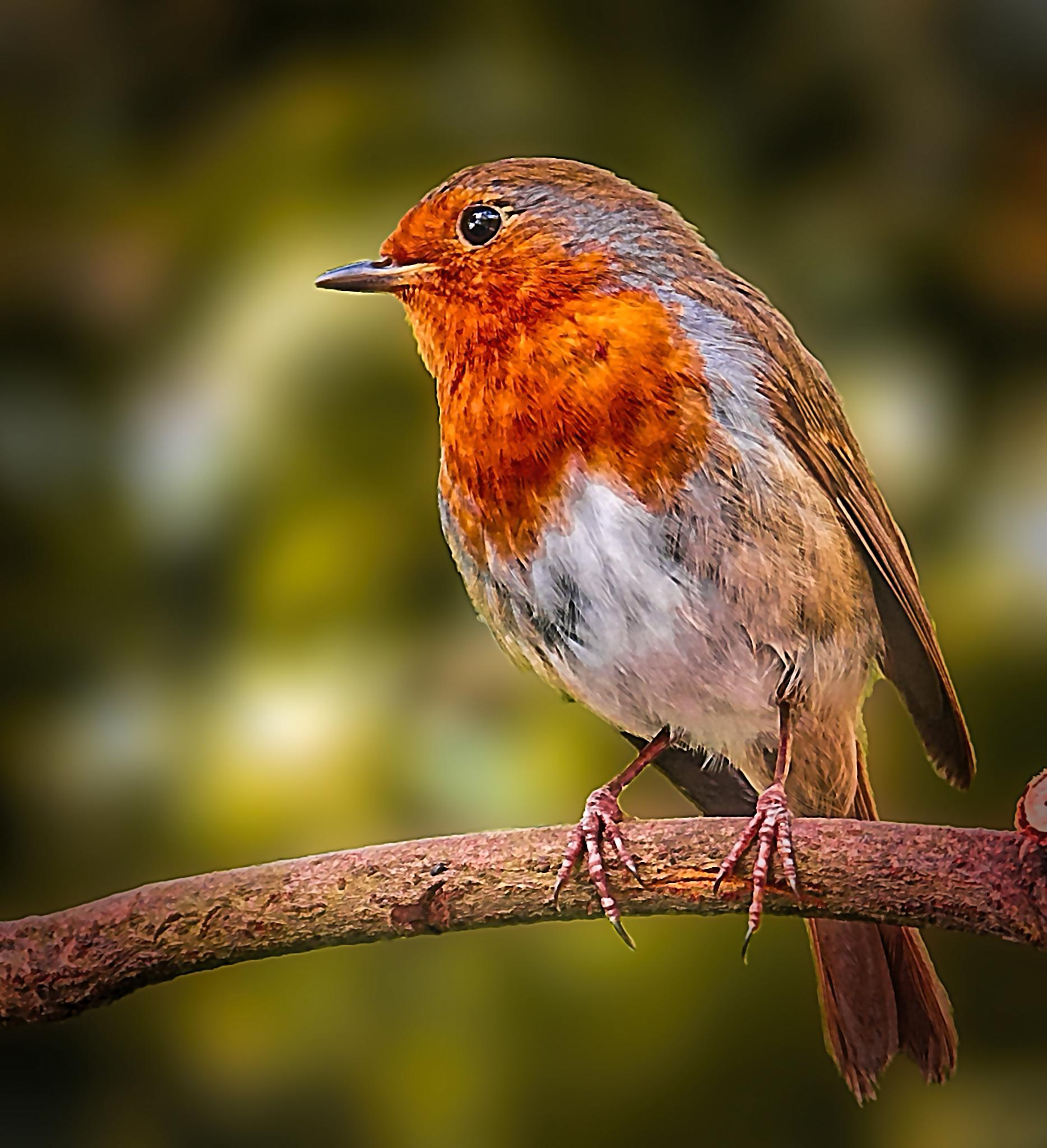 Robin Redbreast by David Owen