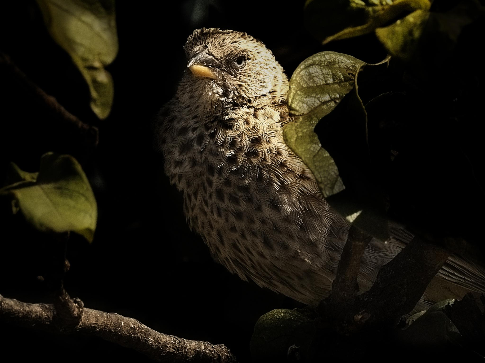 Rufous Tailed Weaver by David Owen