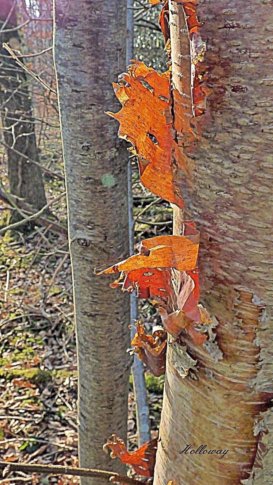 Stripping the Birch by John Holloway