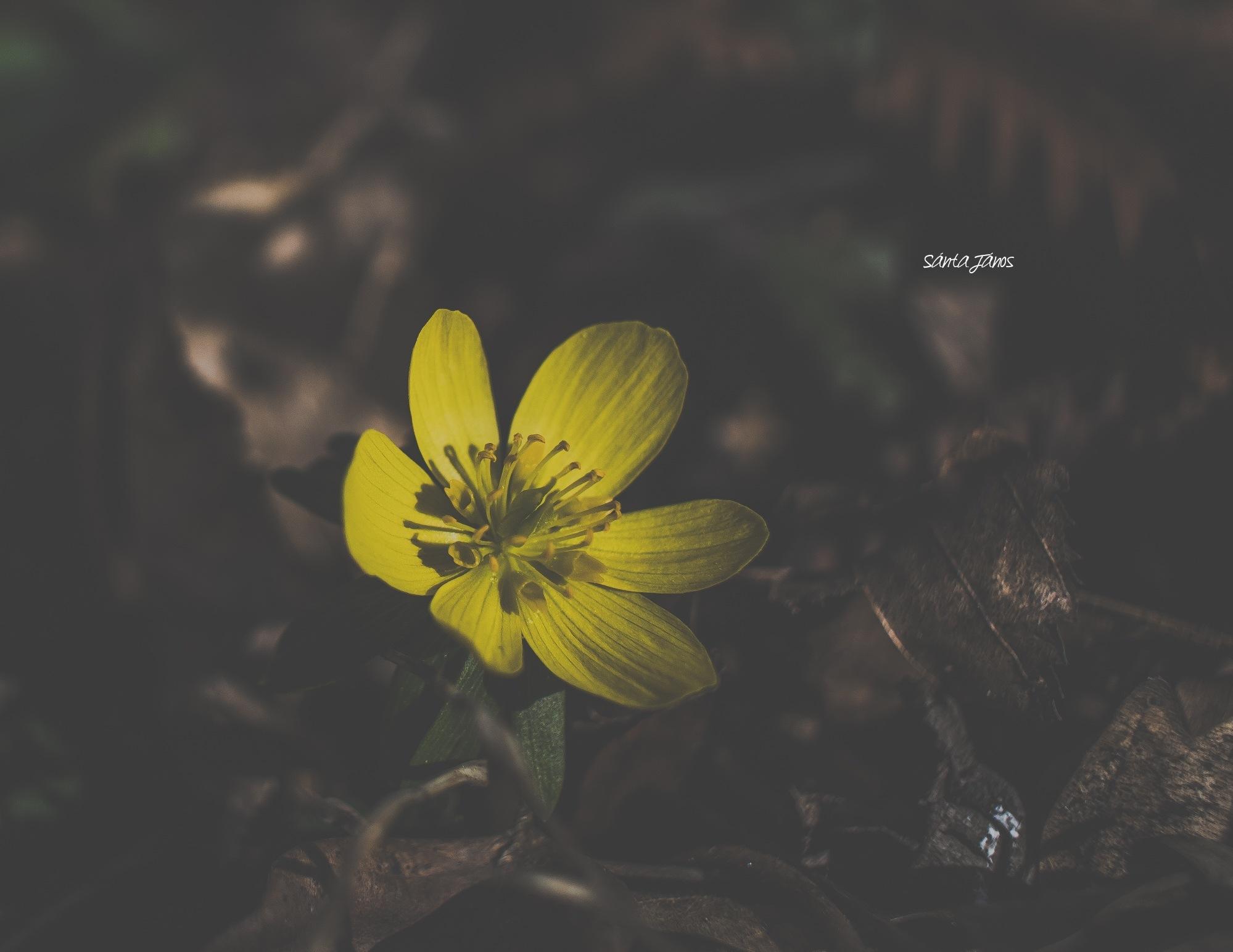 Spring flower by János Sánta