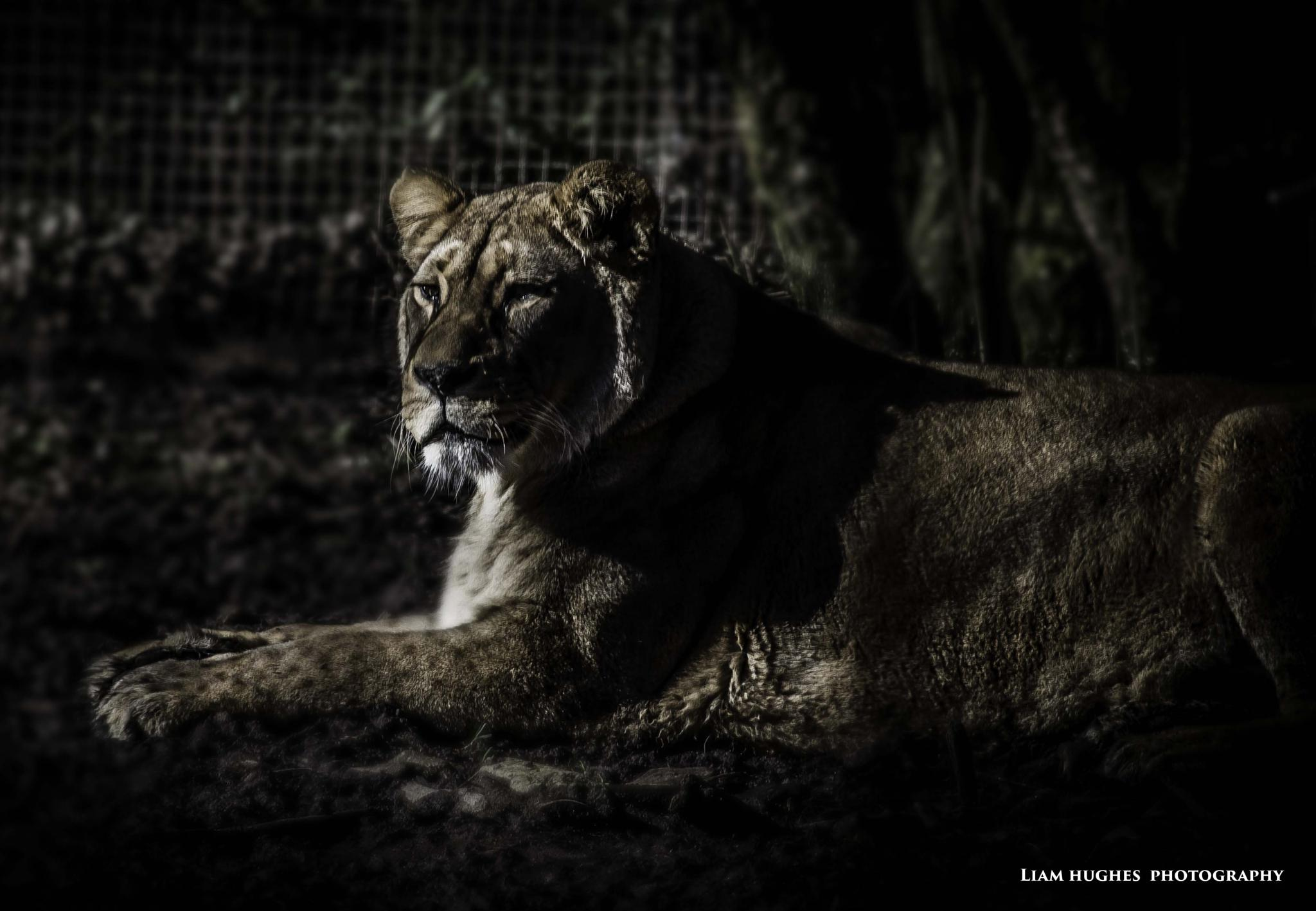 Queen of the zoo by Liam hughes