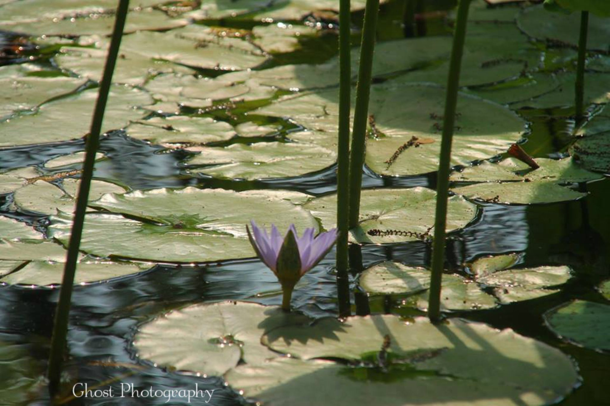 Flower in the center of the swamp  by TetoPhotography