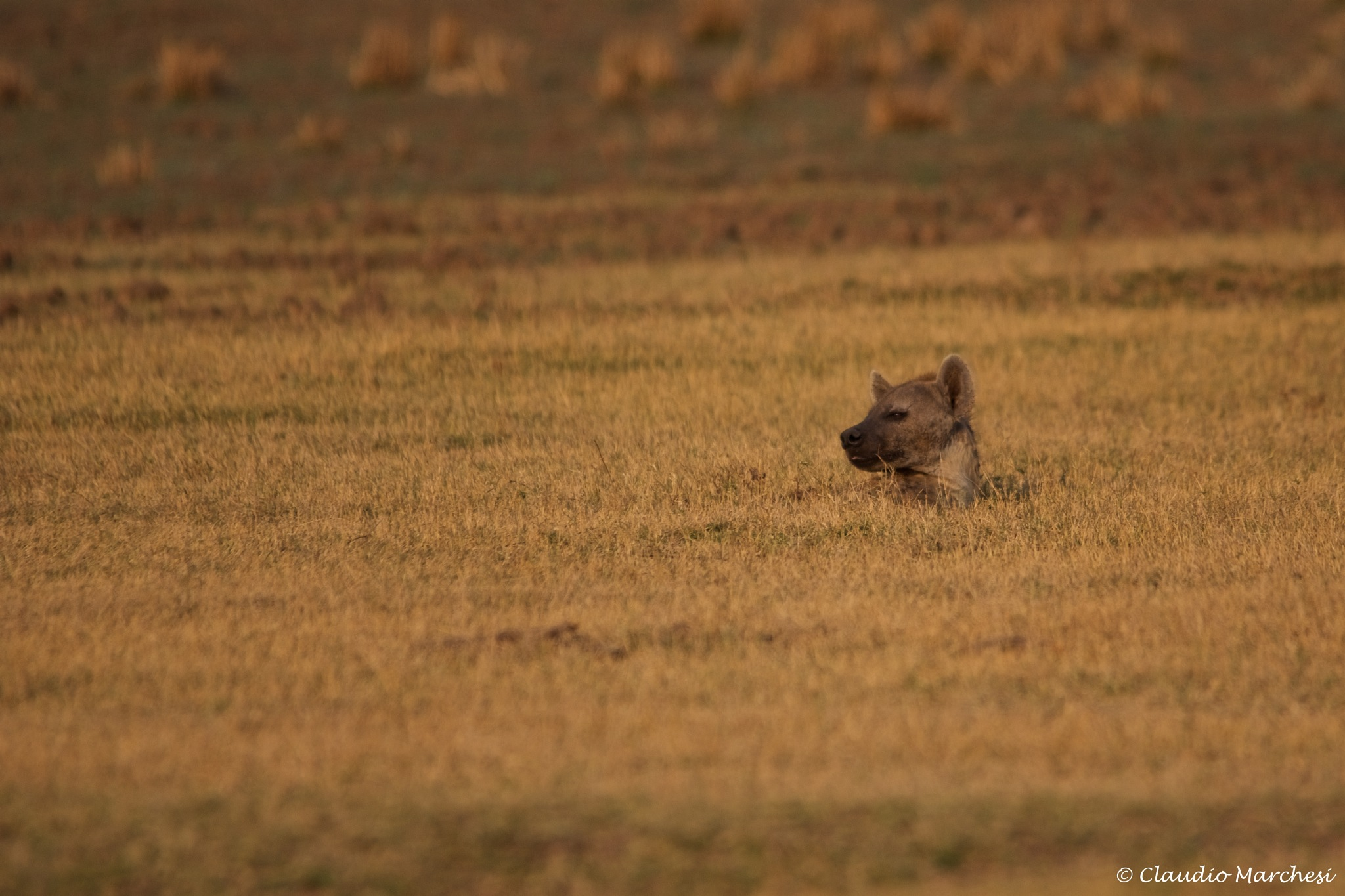 Hyena in the grass by Claudio Marchesi
