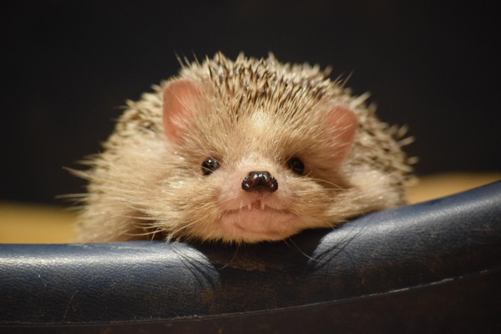 Spike my hedgehog  by José Sfeir