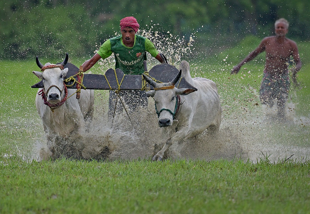 Bull rase by shibram