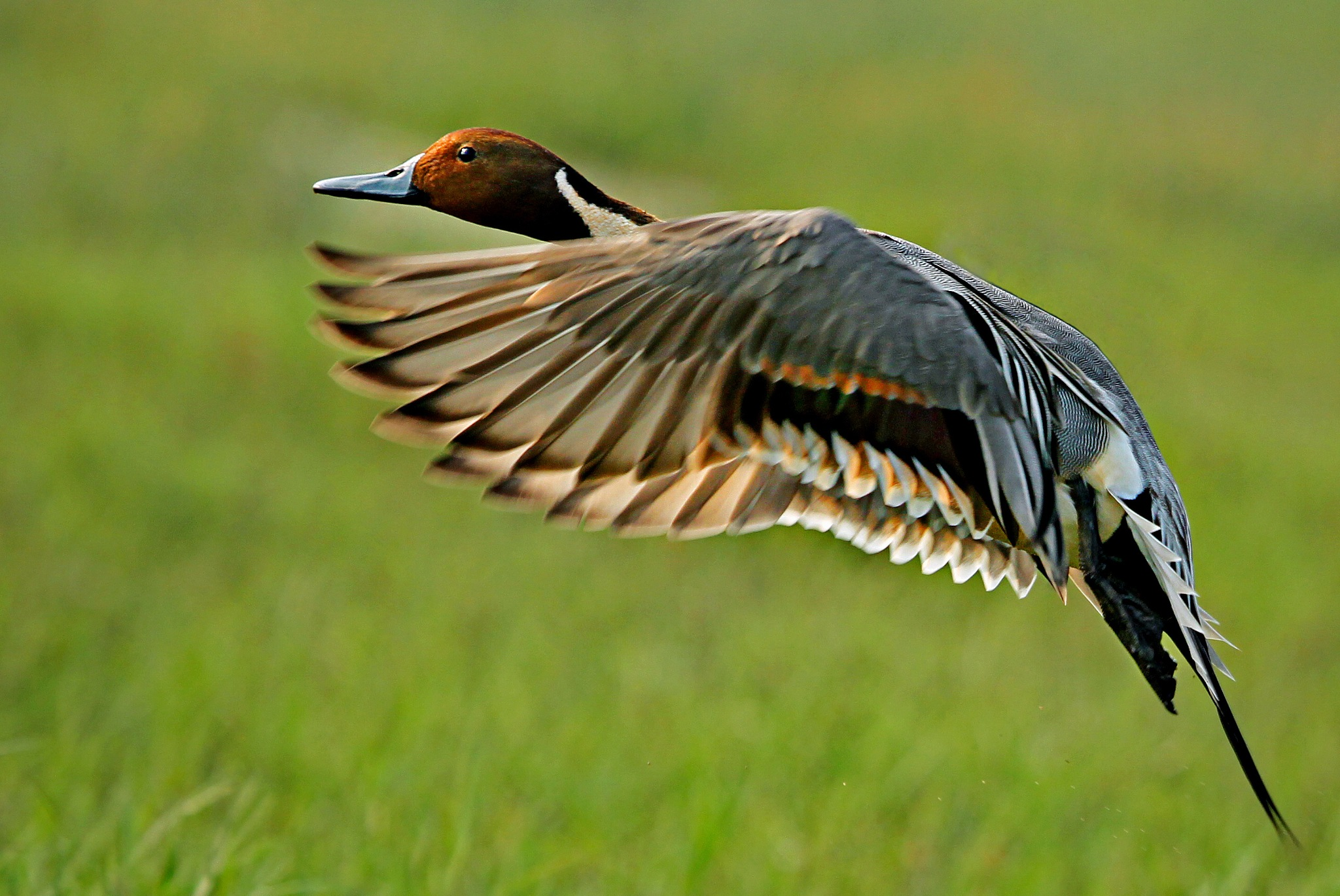 Northern pintail by shibram