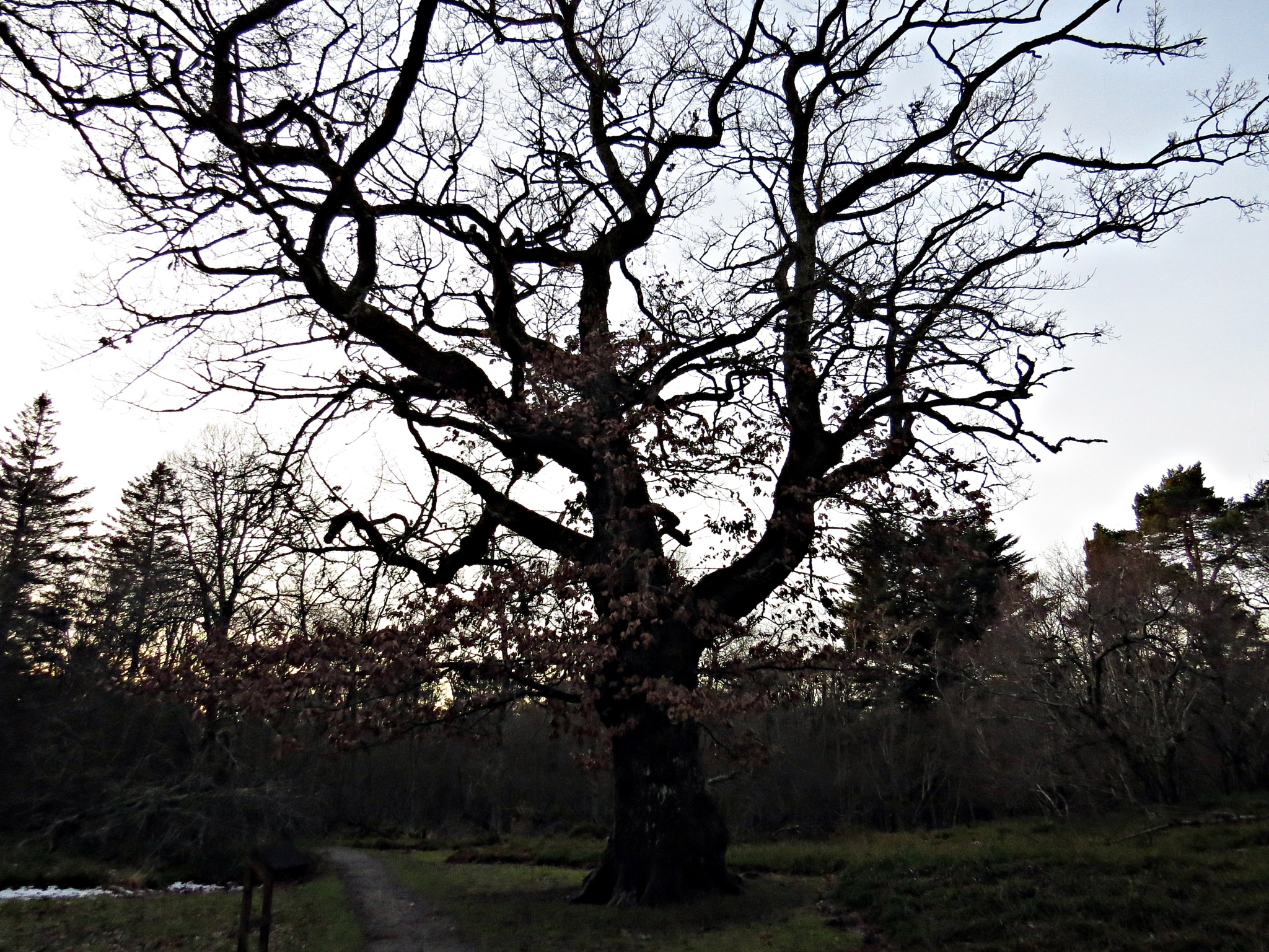 the big oak by Thor Dullum