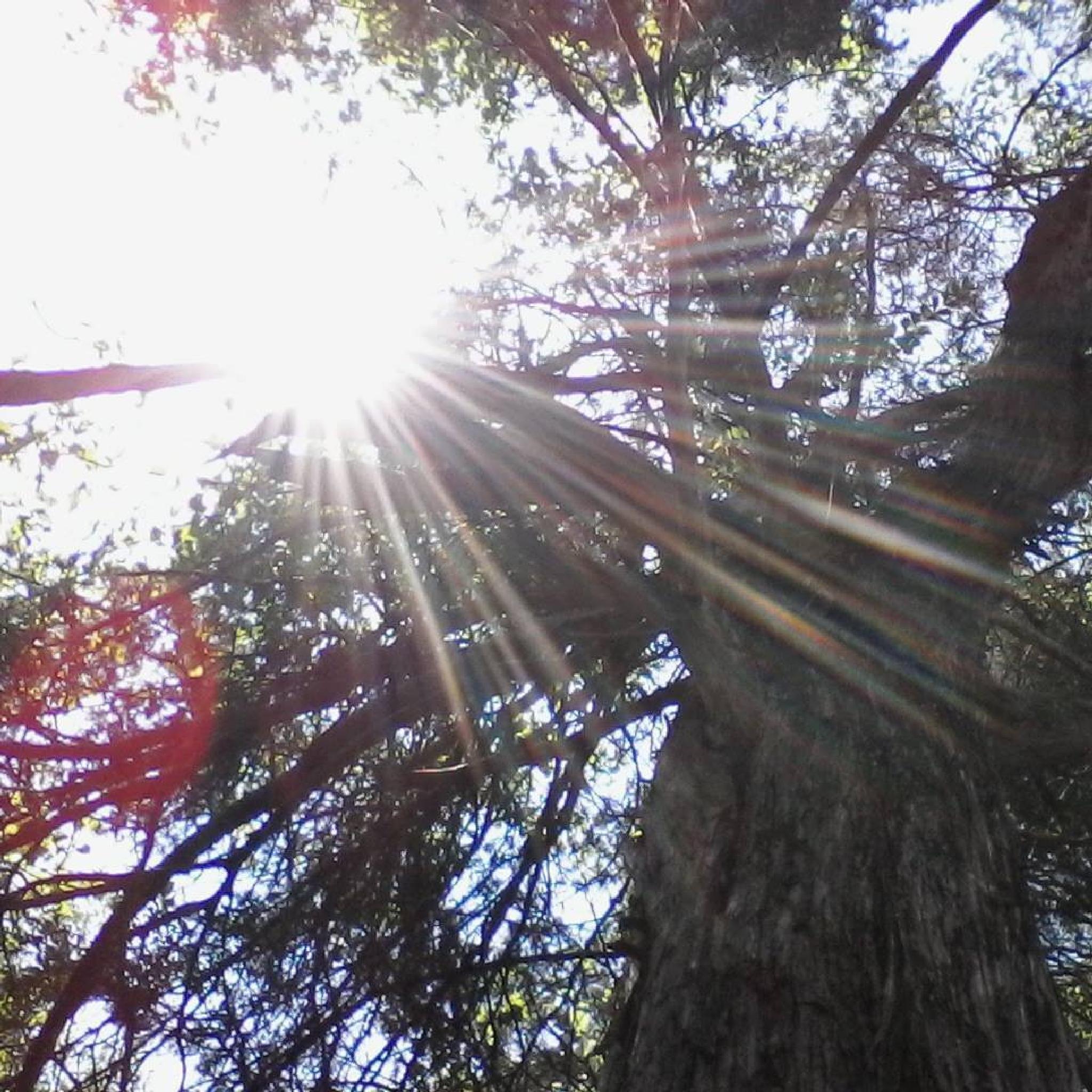 cedar tree by schui_das