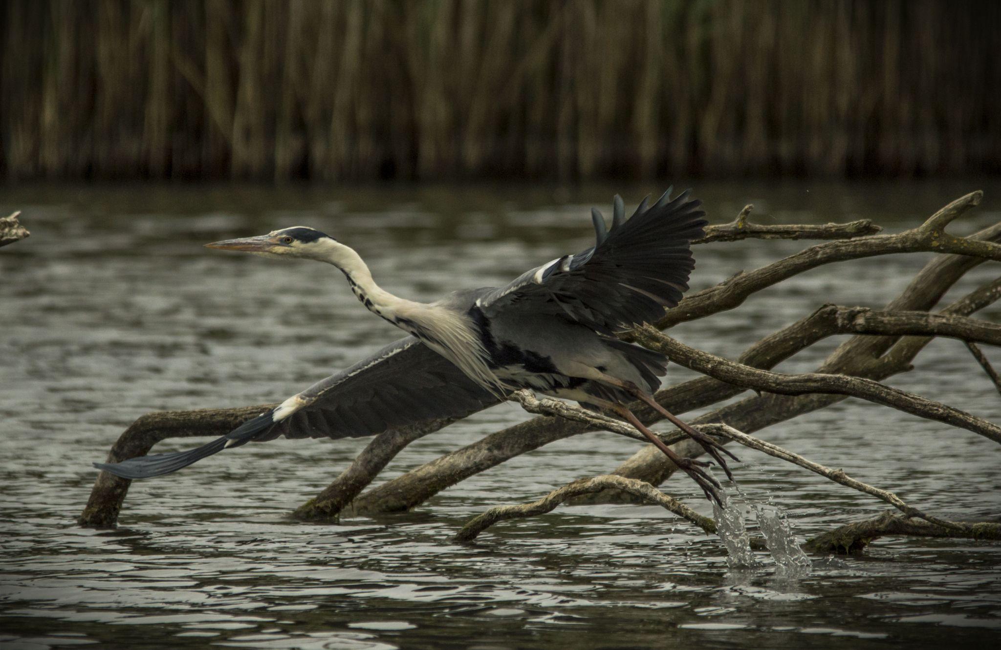 Grey Heron taking flight. by GarryWeeksPhotography