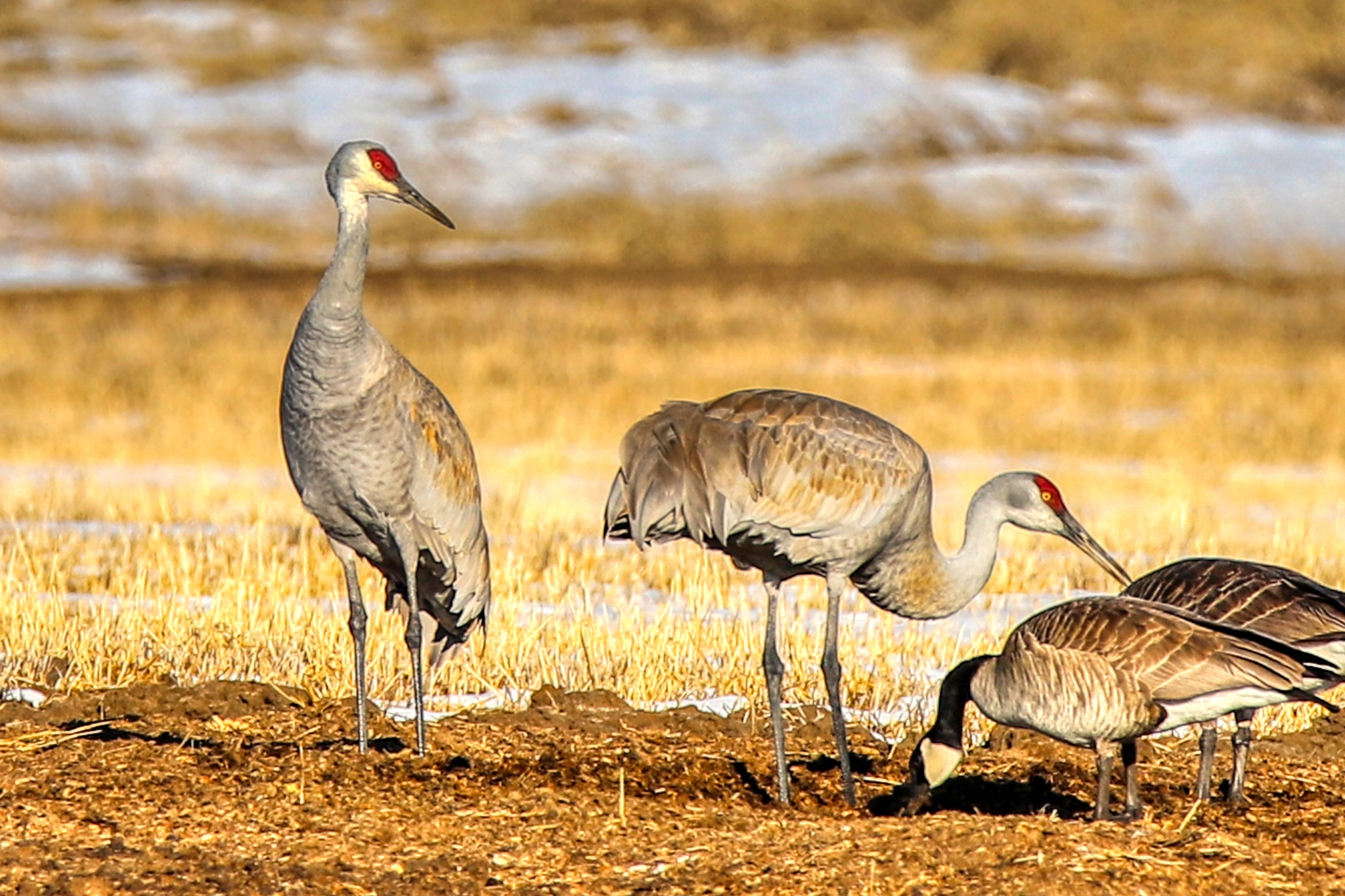 Sandhill Cranes And Geese by James Stewart
