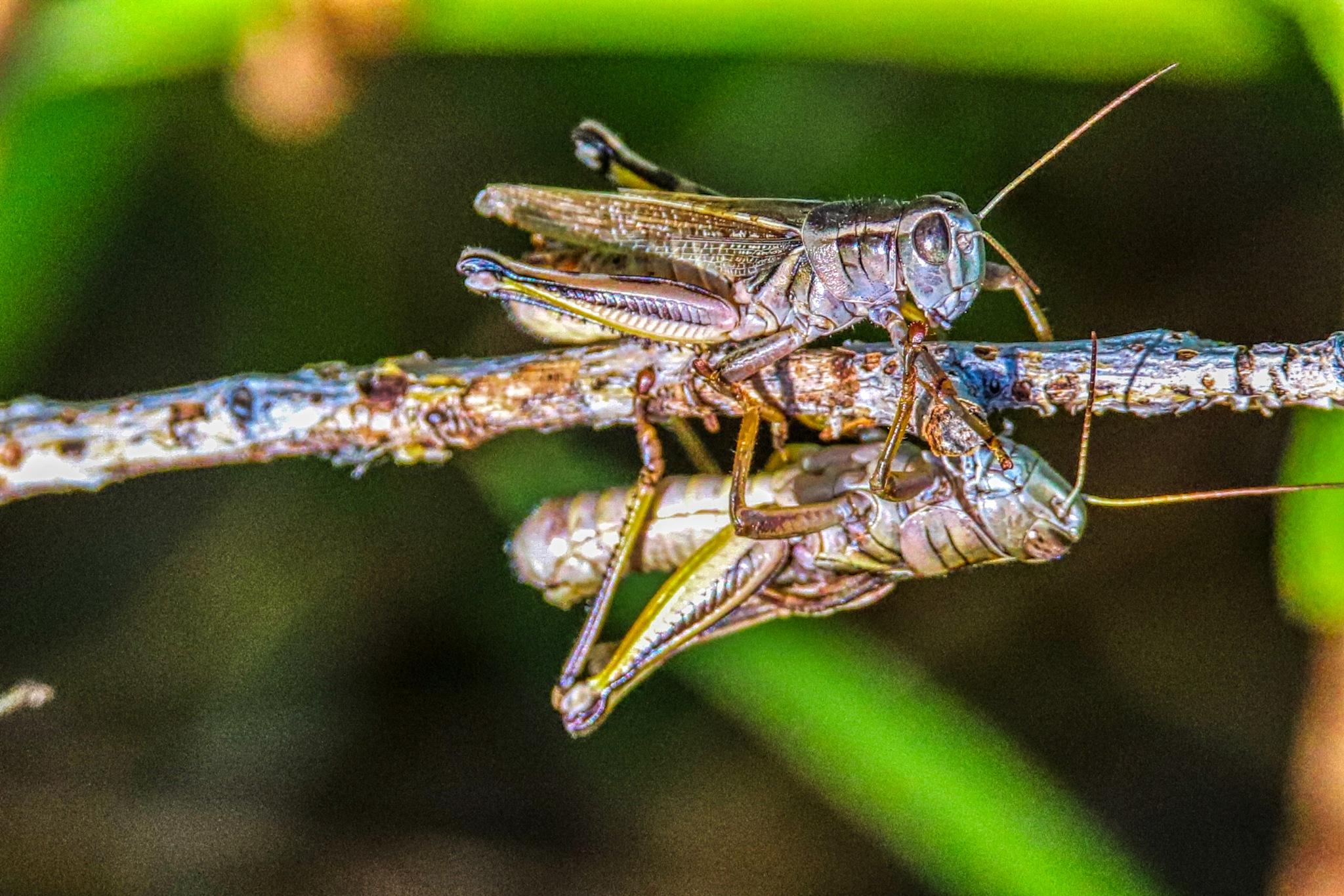 Grasshoppers by James Stewart