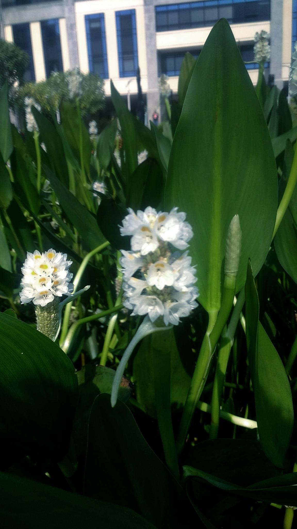 white flowers by Rafaela Fernandes
