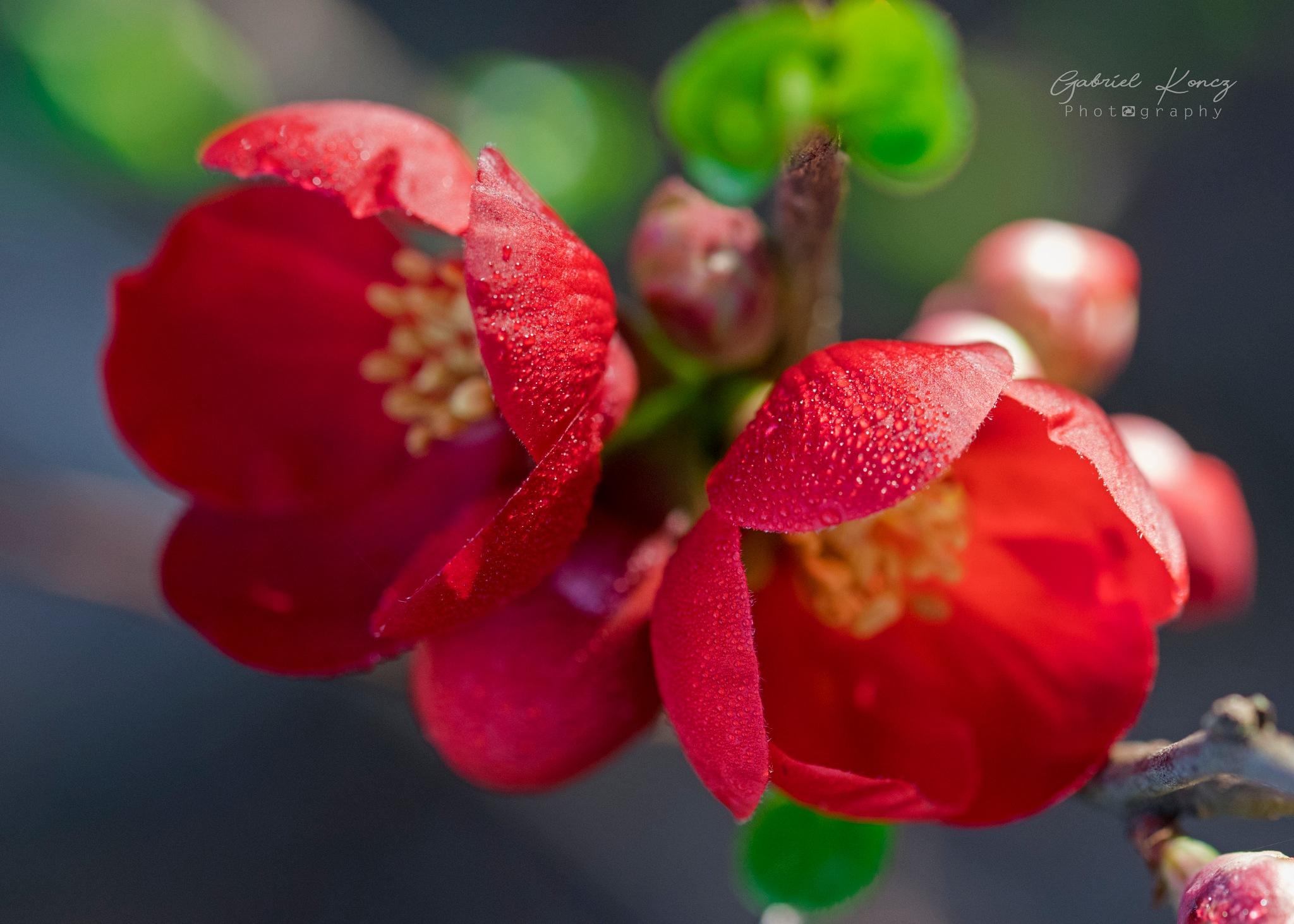 Red blossom by Gabriel Koncz