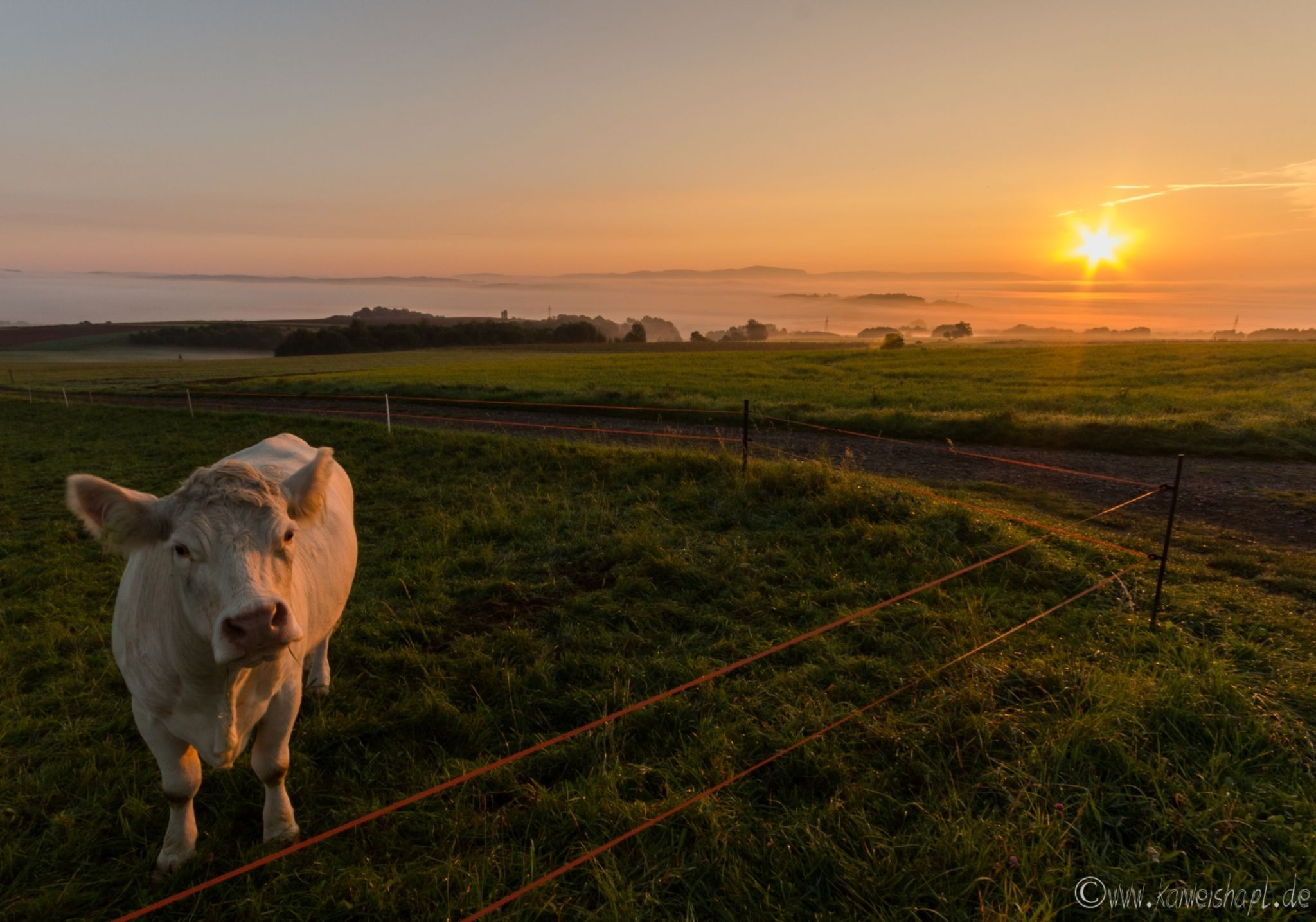 Cow by Kai Weishapl Photography