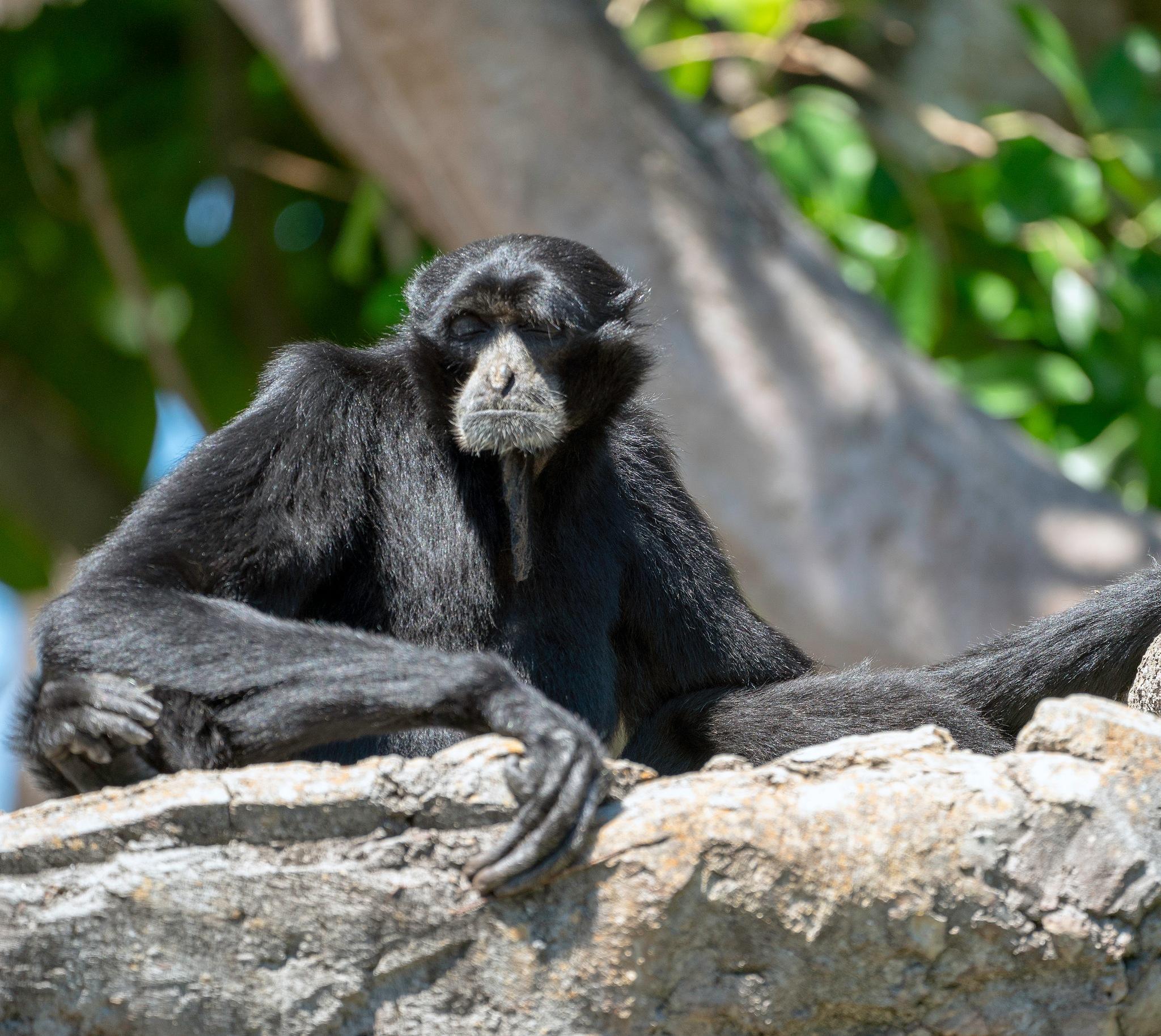 White Checked Gibbon by elenafeinsilver