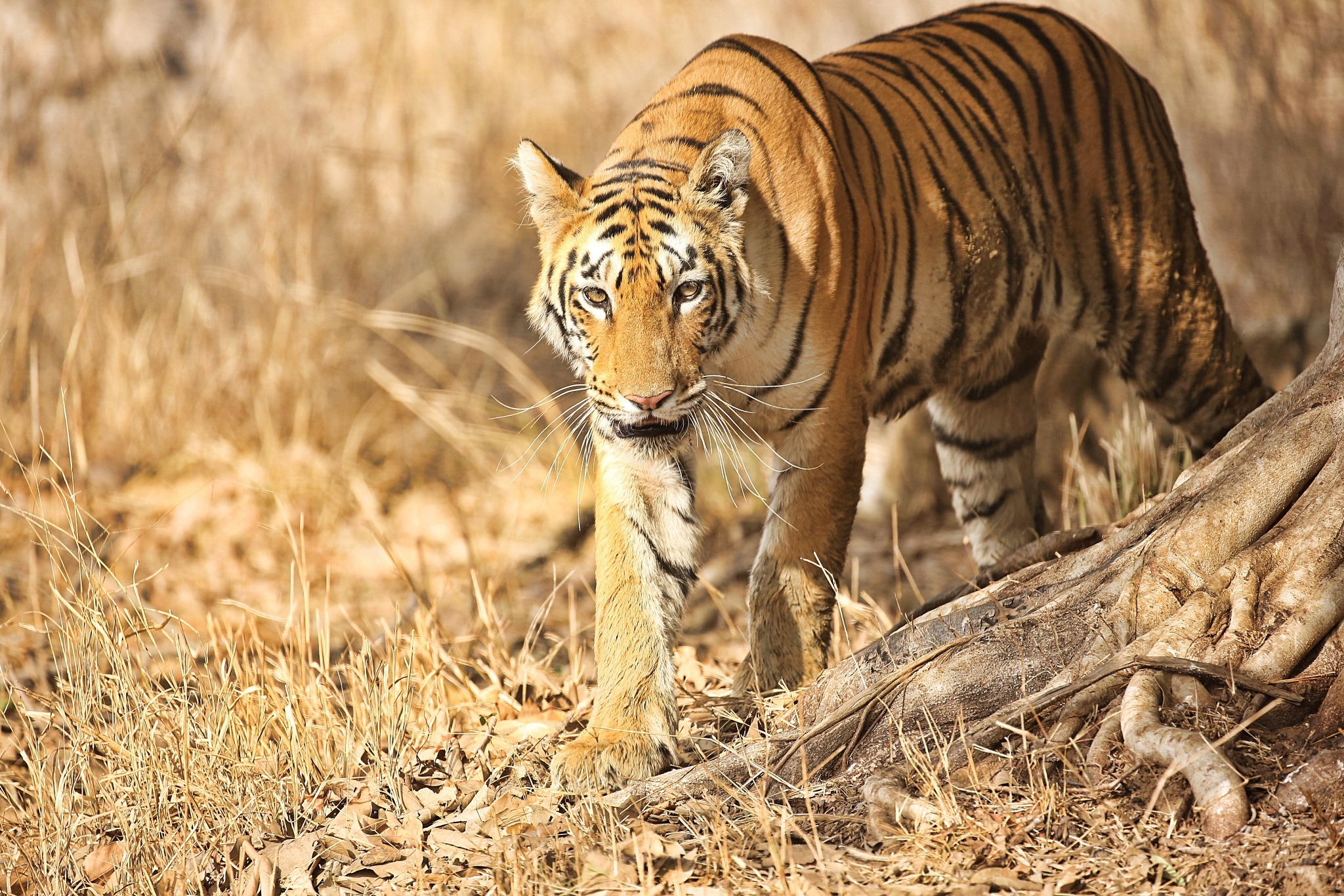Tiger by Aarushi goyal