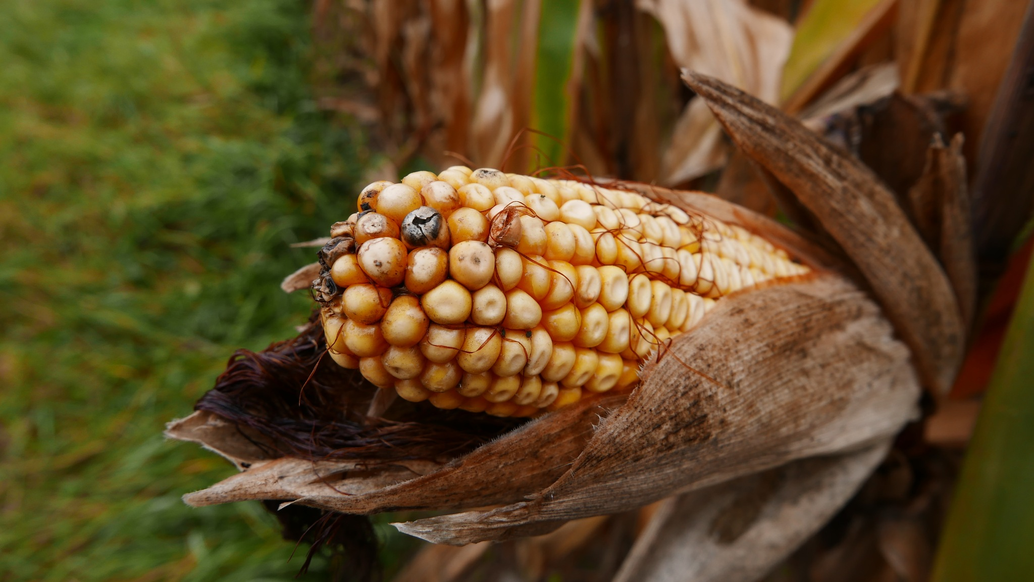 So sieht Mais aus. by percy ottinger