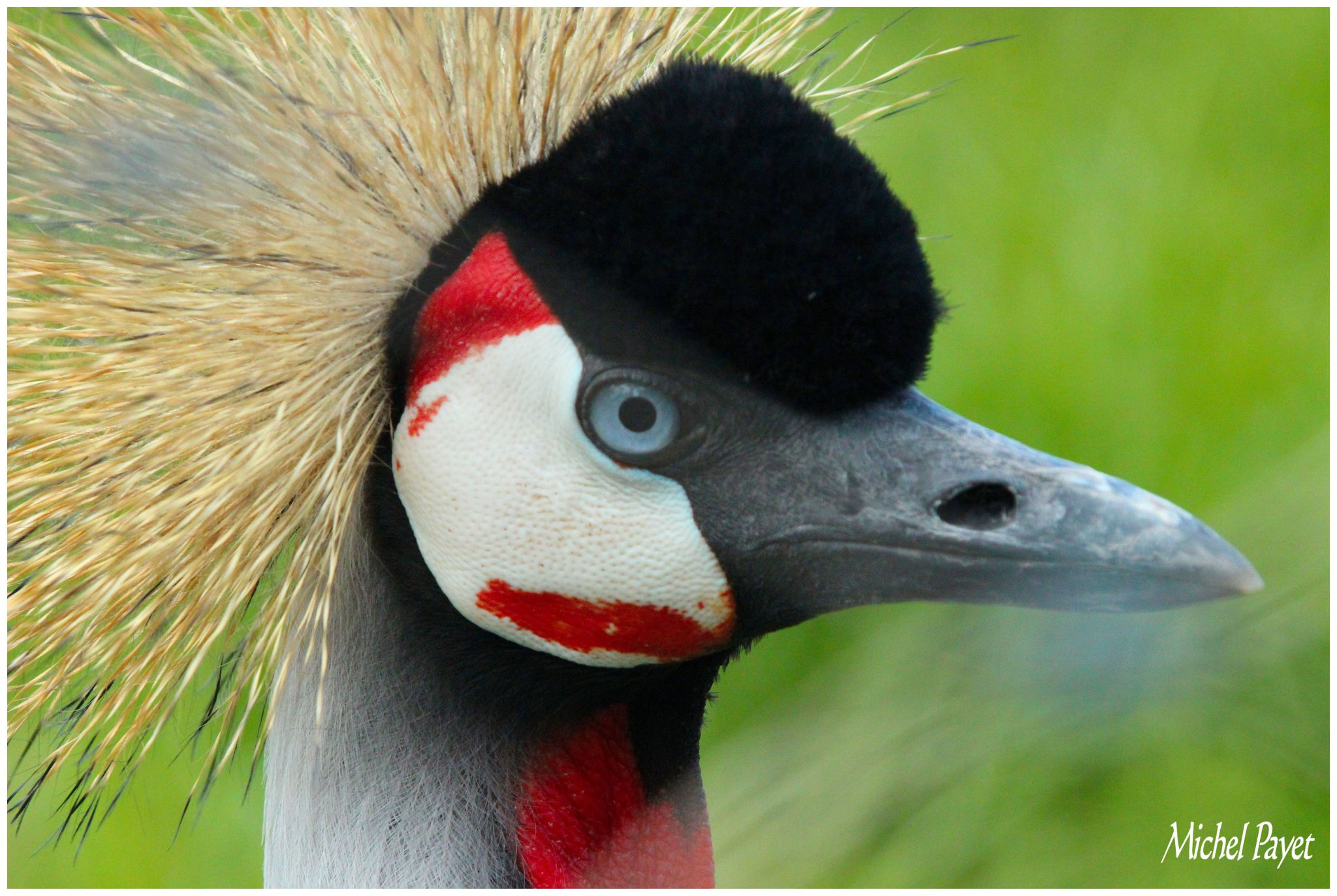 crowned Crane ...portrait! by Michel Payet