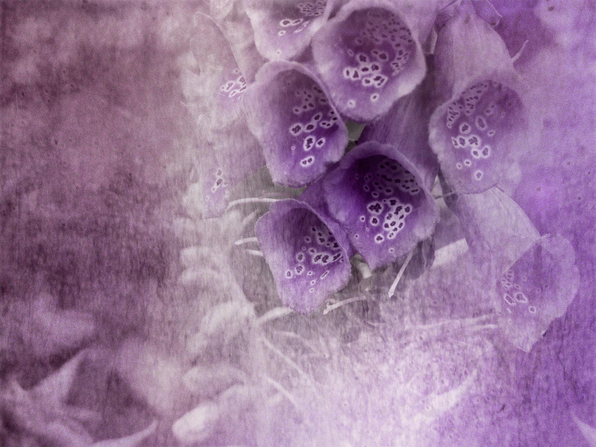 Foxgloves by Helen Burridge
