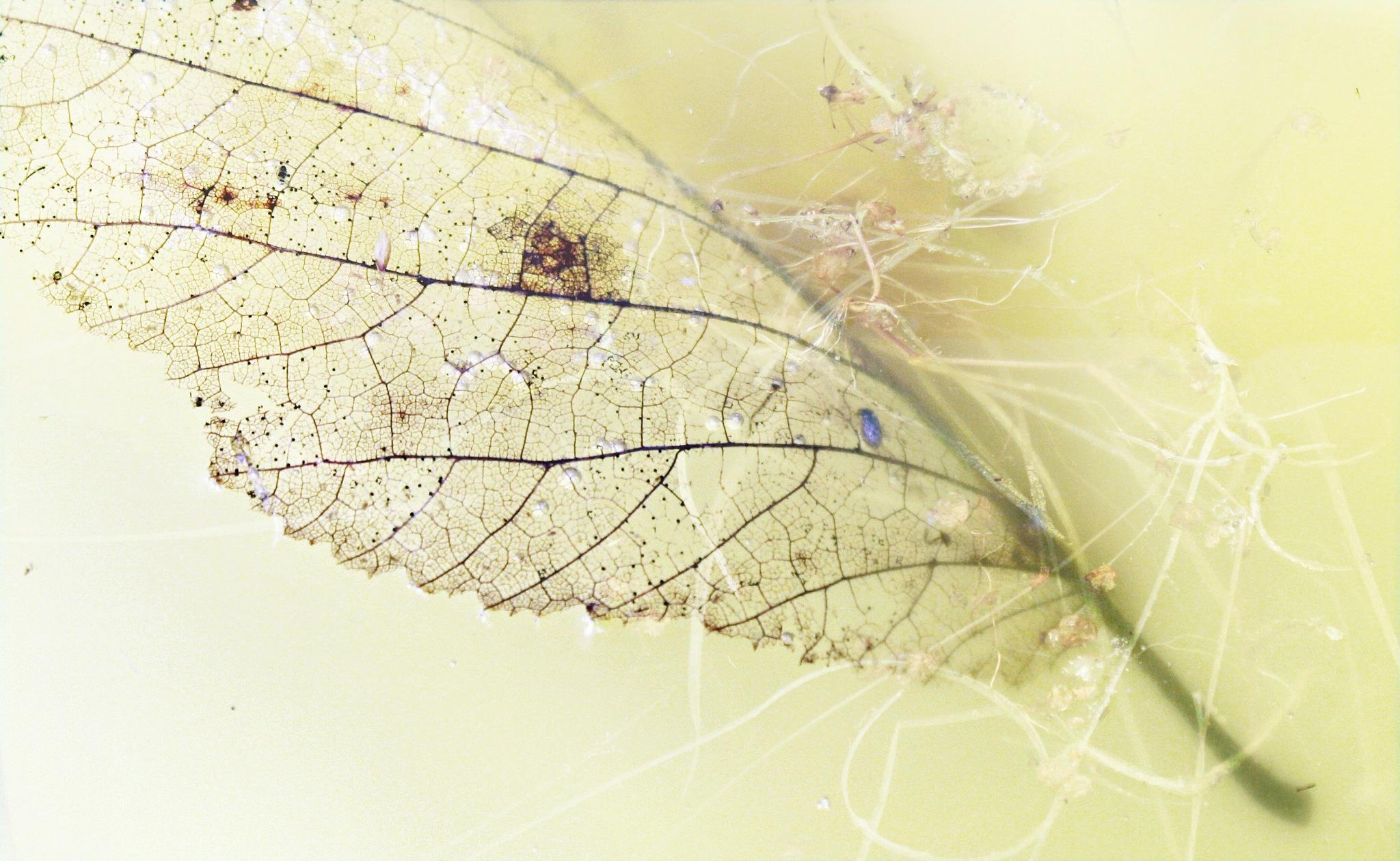 Submerged leaf  by Helen Burridge
