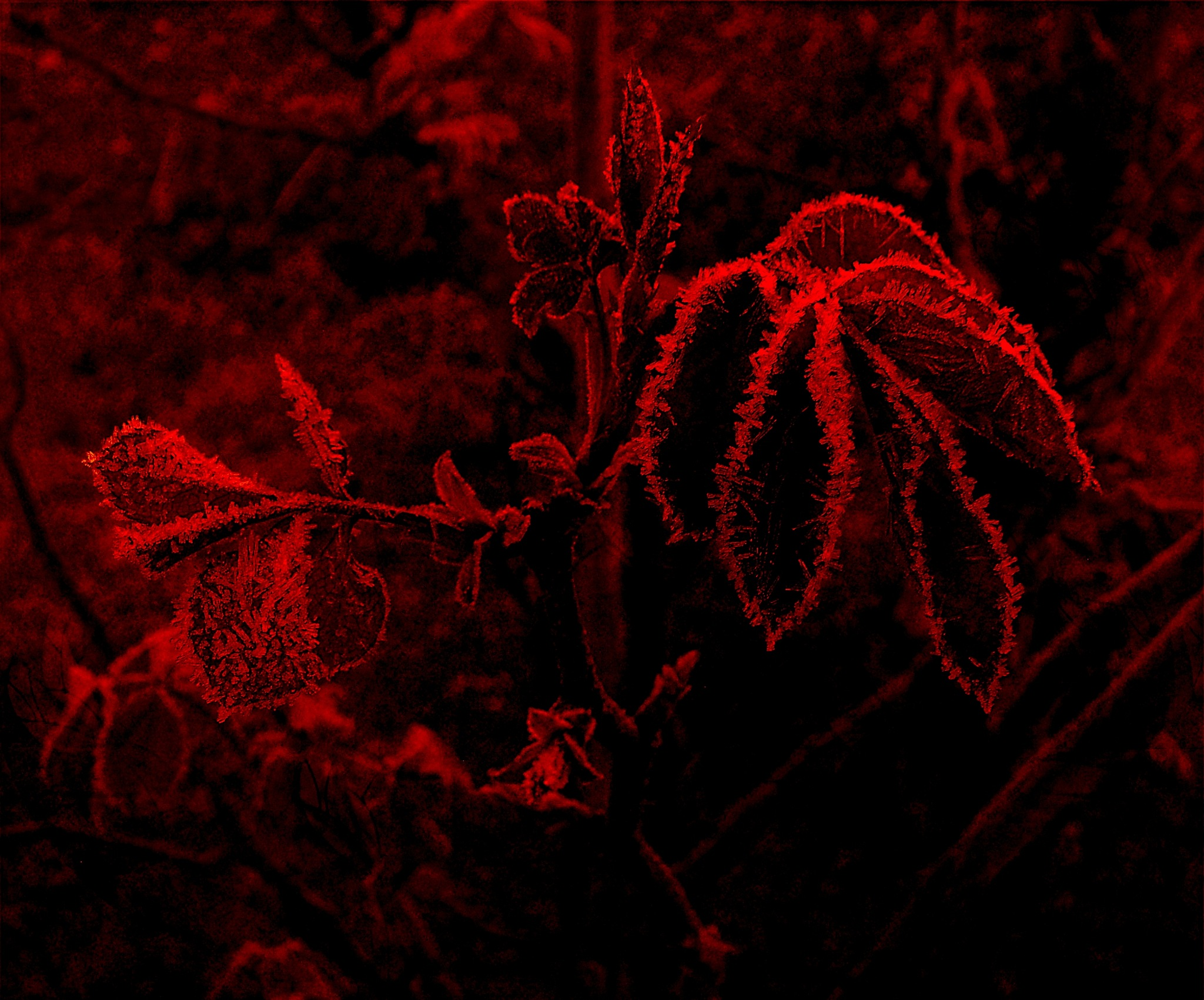 Photo in Abstract #rose leaves #frost #red textured layer
