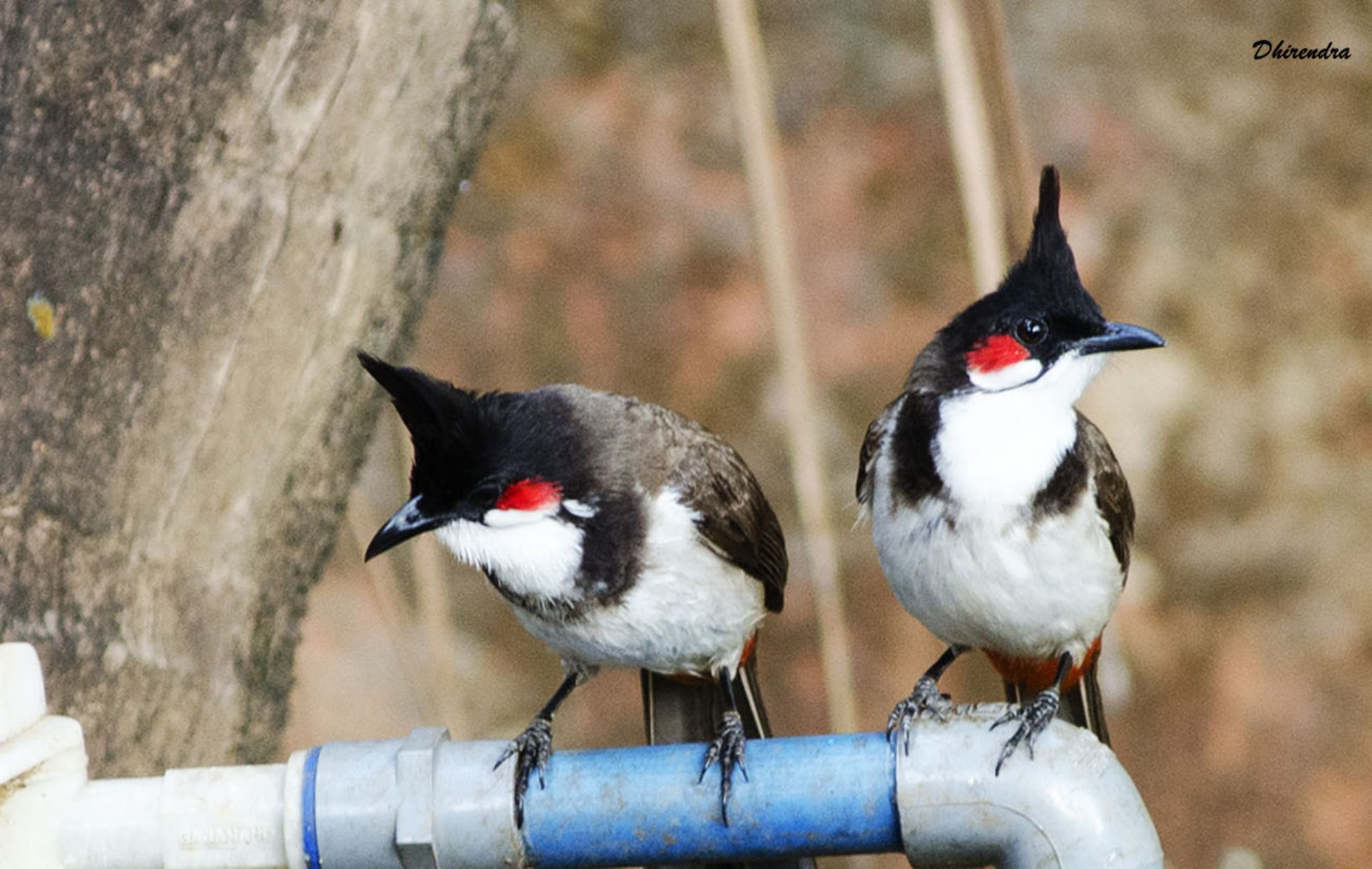 Red Whiskered Bulbul... by Dhirendra Holikar