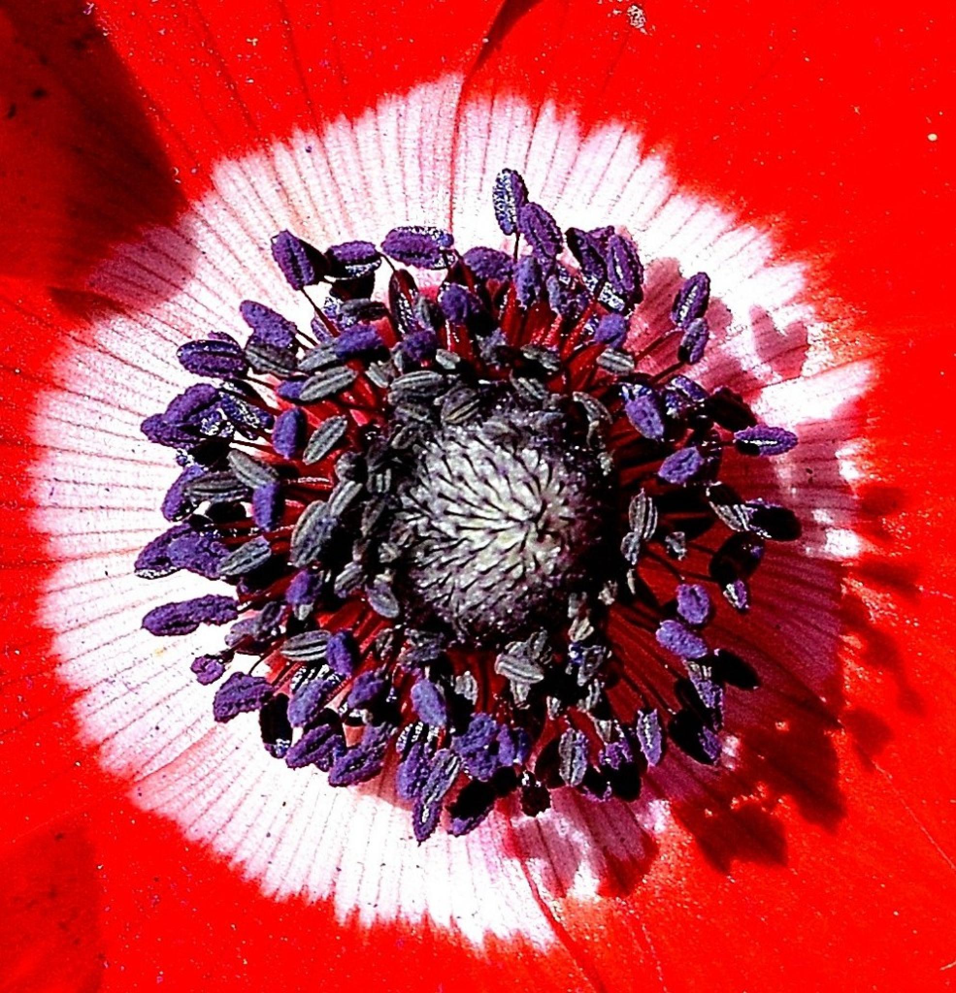Anemone by אשר שמולביץ