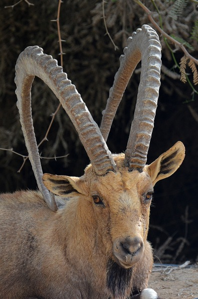 Deer Plot of Ben-Gurion, Sde Boker - Negev by אשר שמולביץ