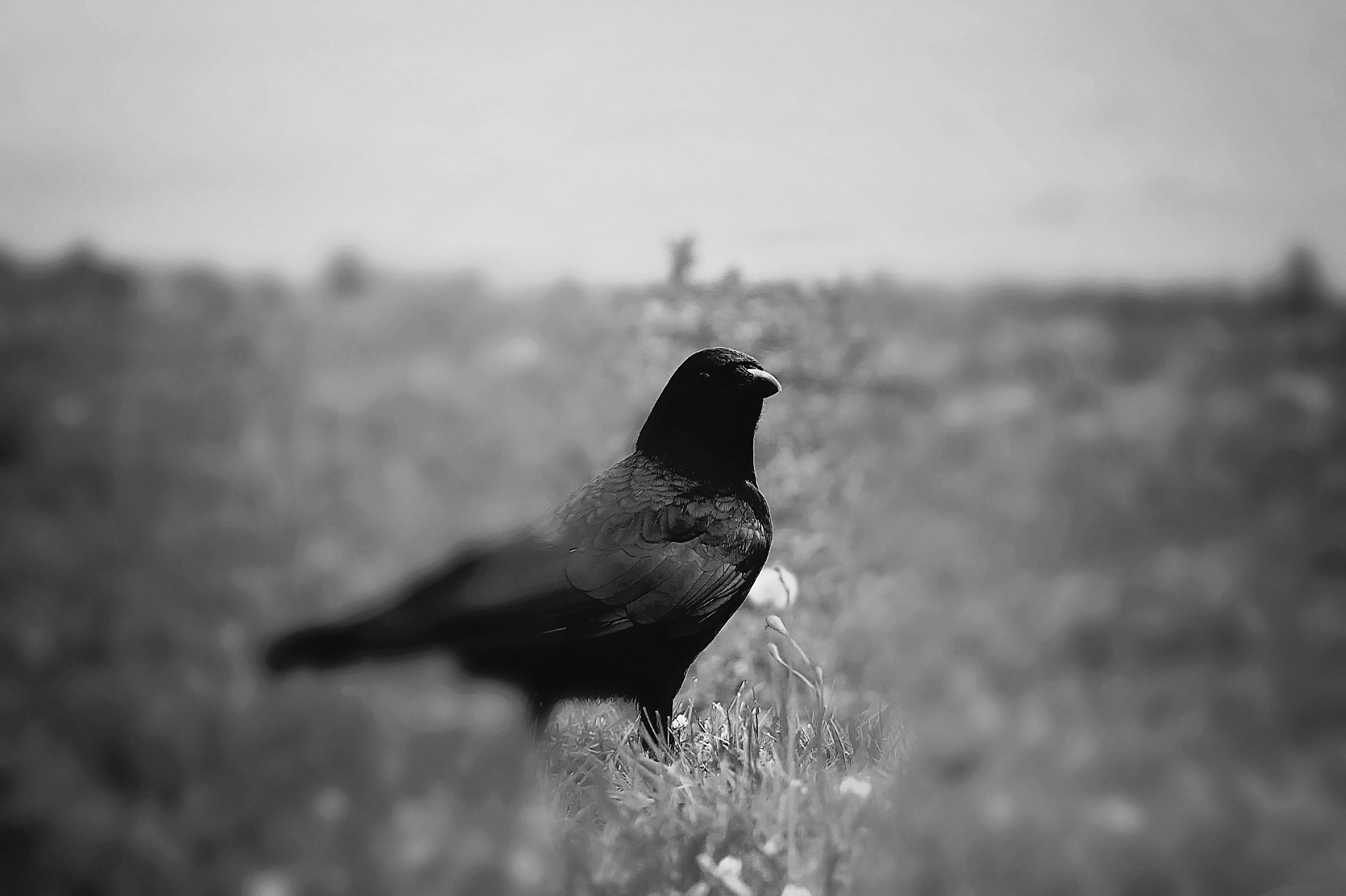 Photo in Black and White #crow #bird #wild