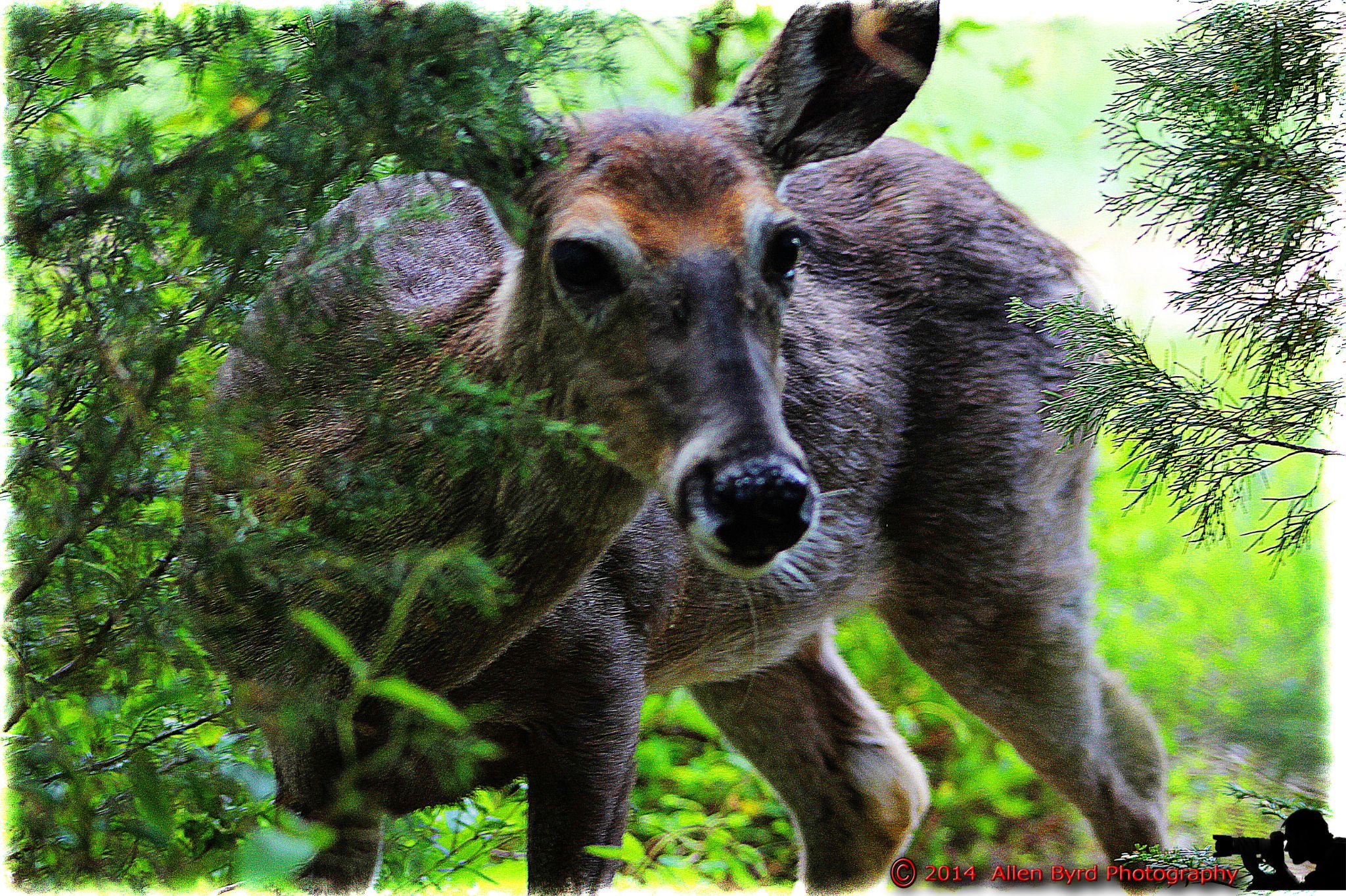 deer-1 by Allen Byrd Photography