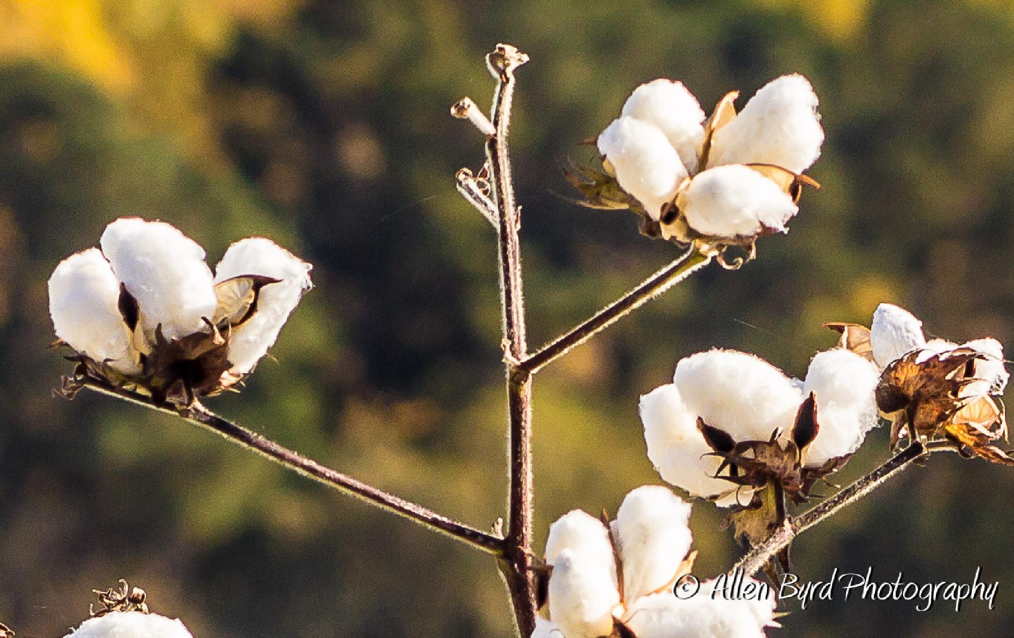 North Carolina Cotton Field by Allen Byrd Photography