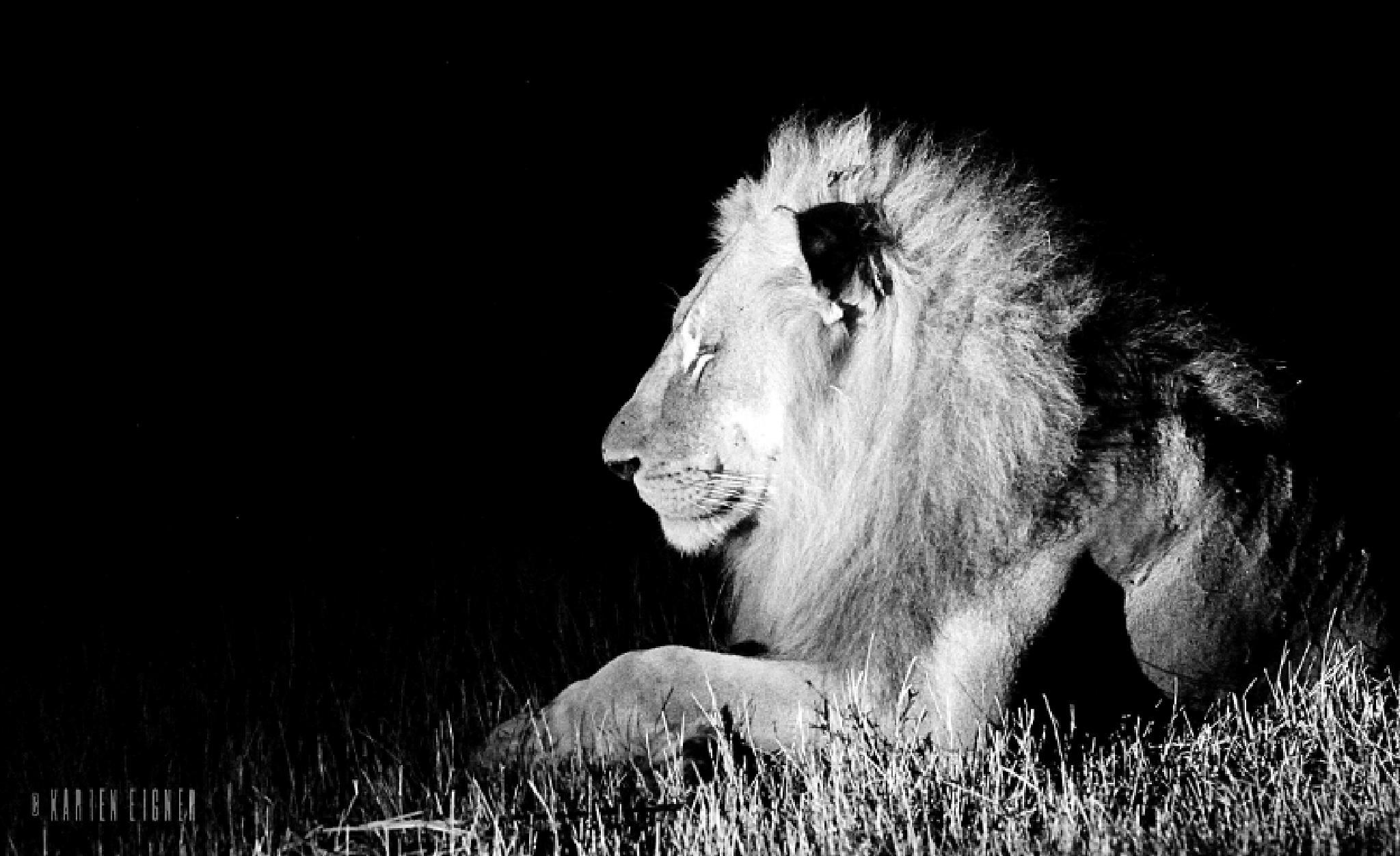 Male lion by Karien Eigner