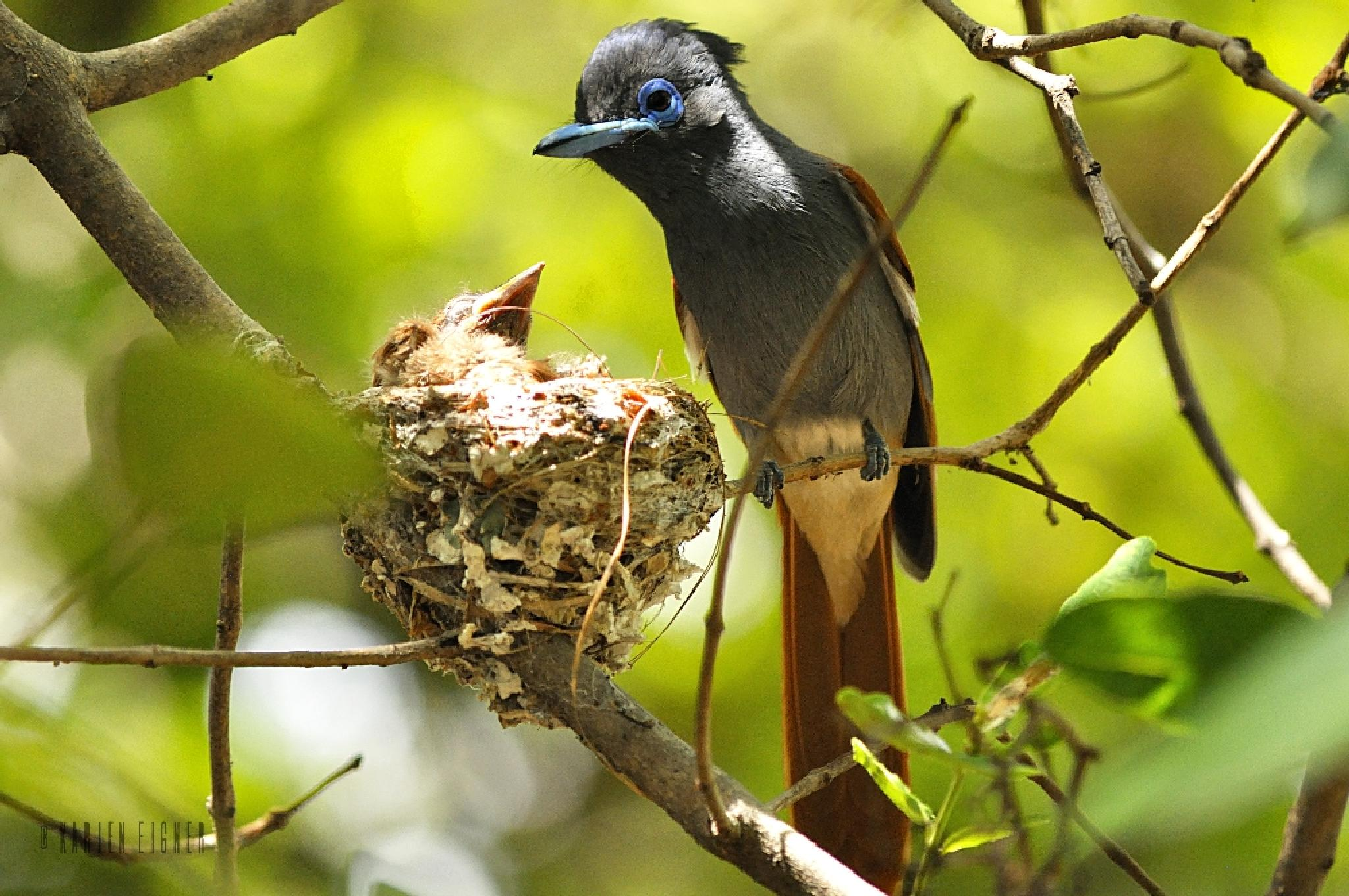 Male paradise flycatcher with chicks  by Karien Eigner
