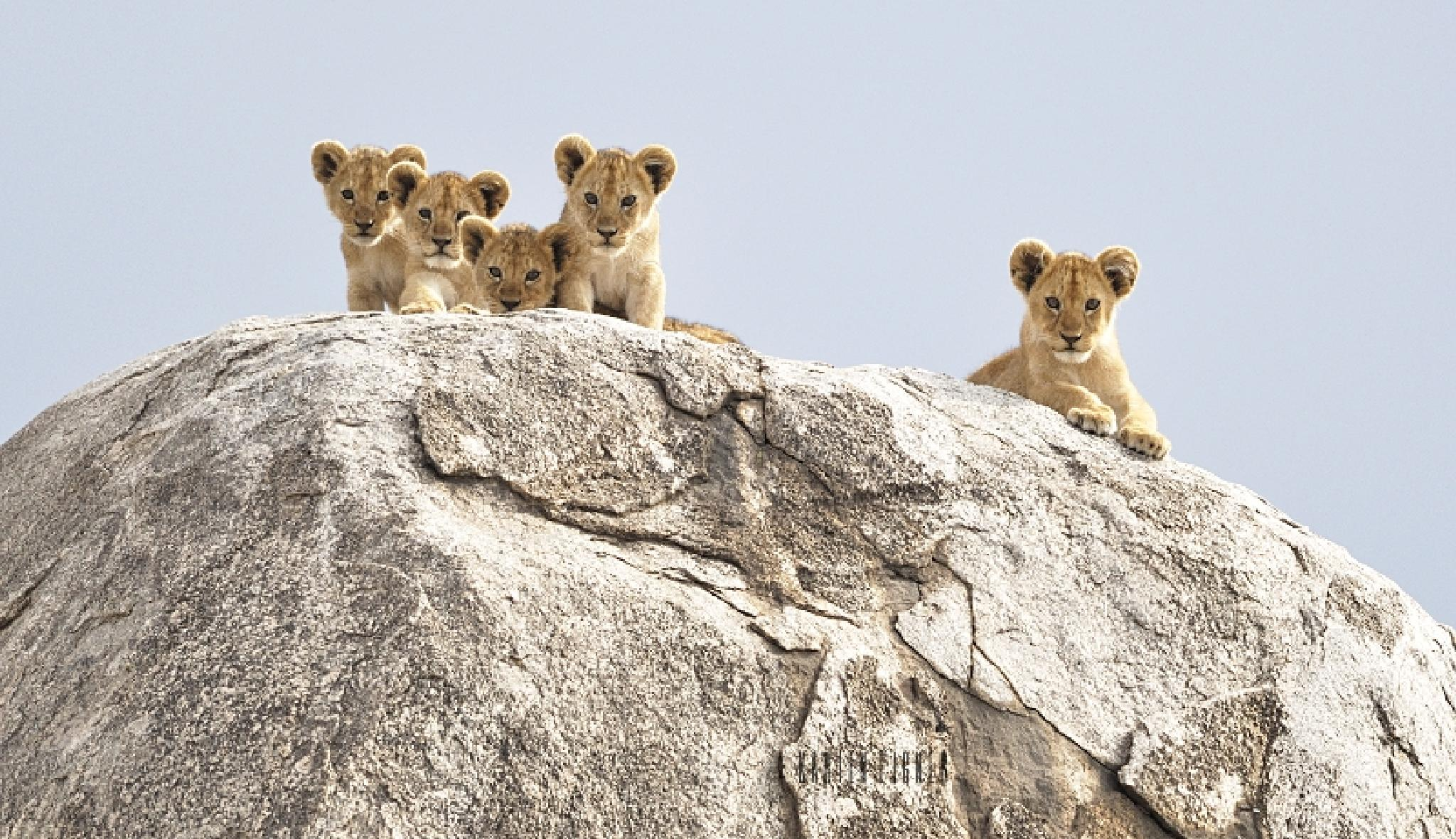 Lion cubs in the Serengeti by Karien Eigner