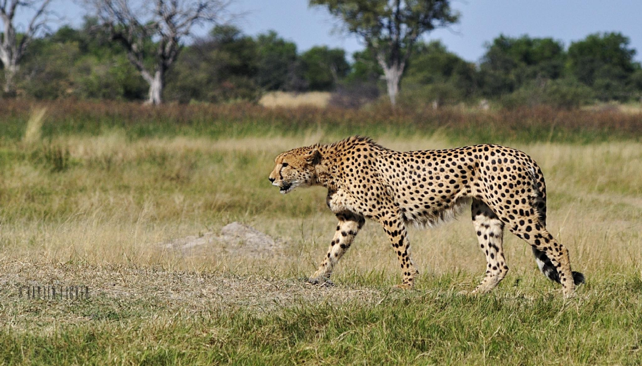 Male cheetah on the prowl by Karien Eigner