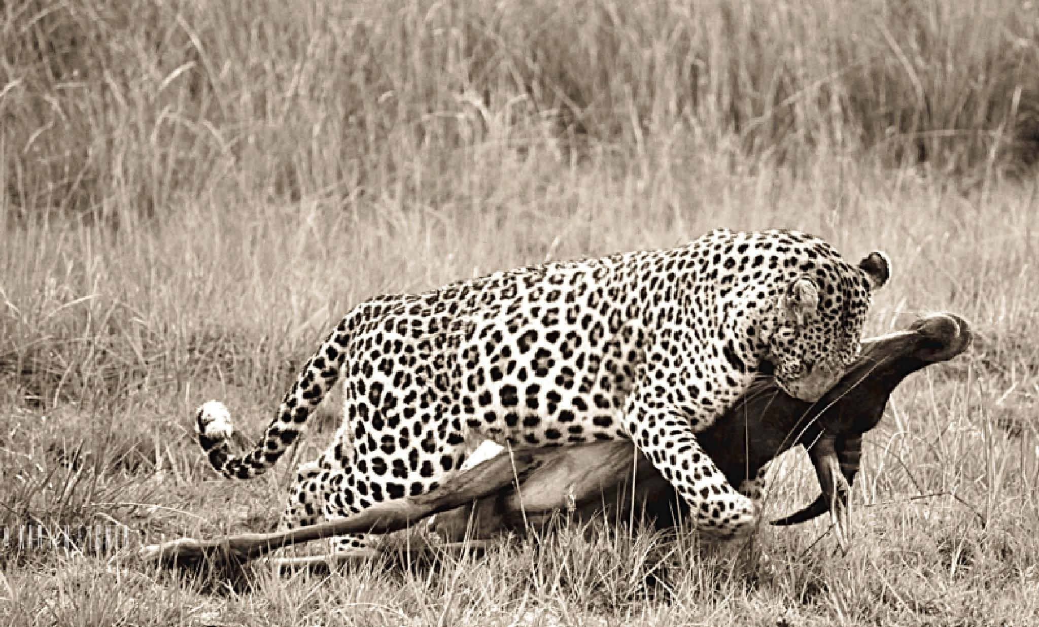 Male leopard with a tsessebe kill  by Karien Eigner