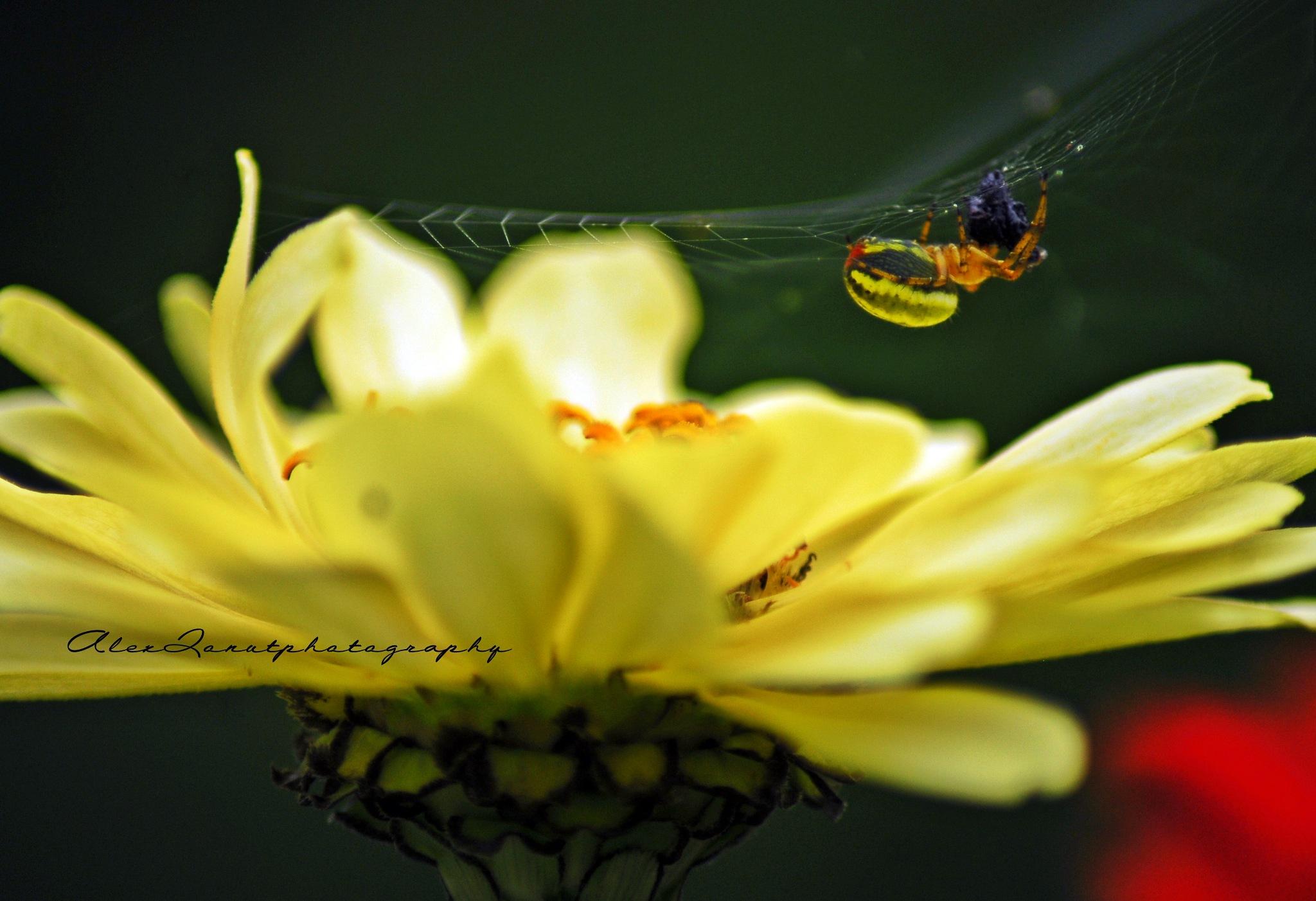 the spider by Alex Ionut Husariu