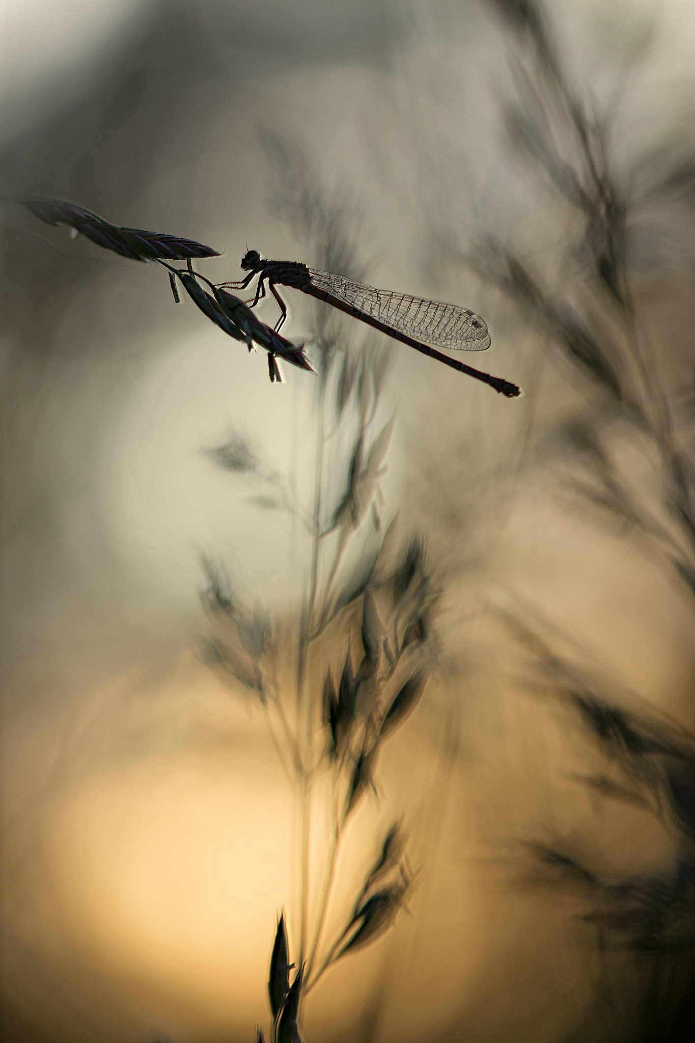 Agrion by Yves Droeven
