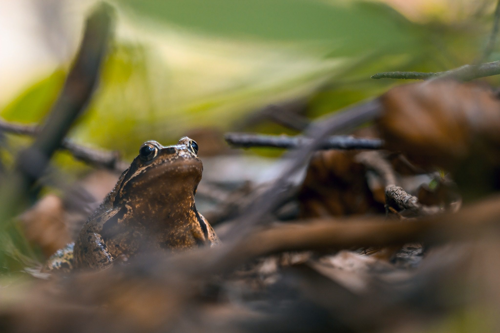 Grenouille by Yves Droeven
