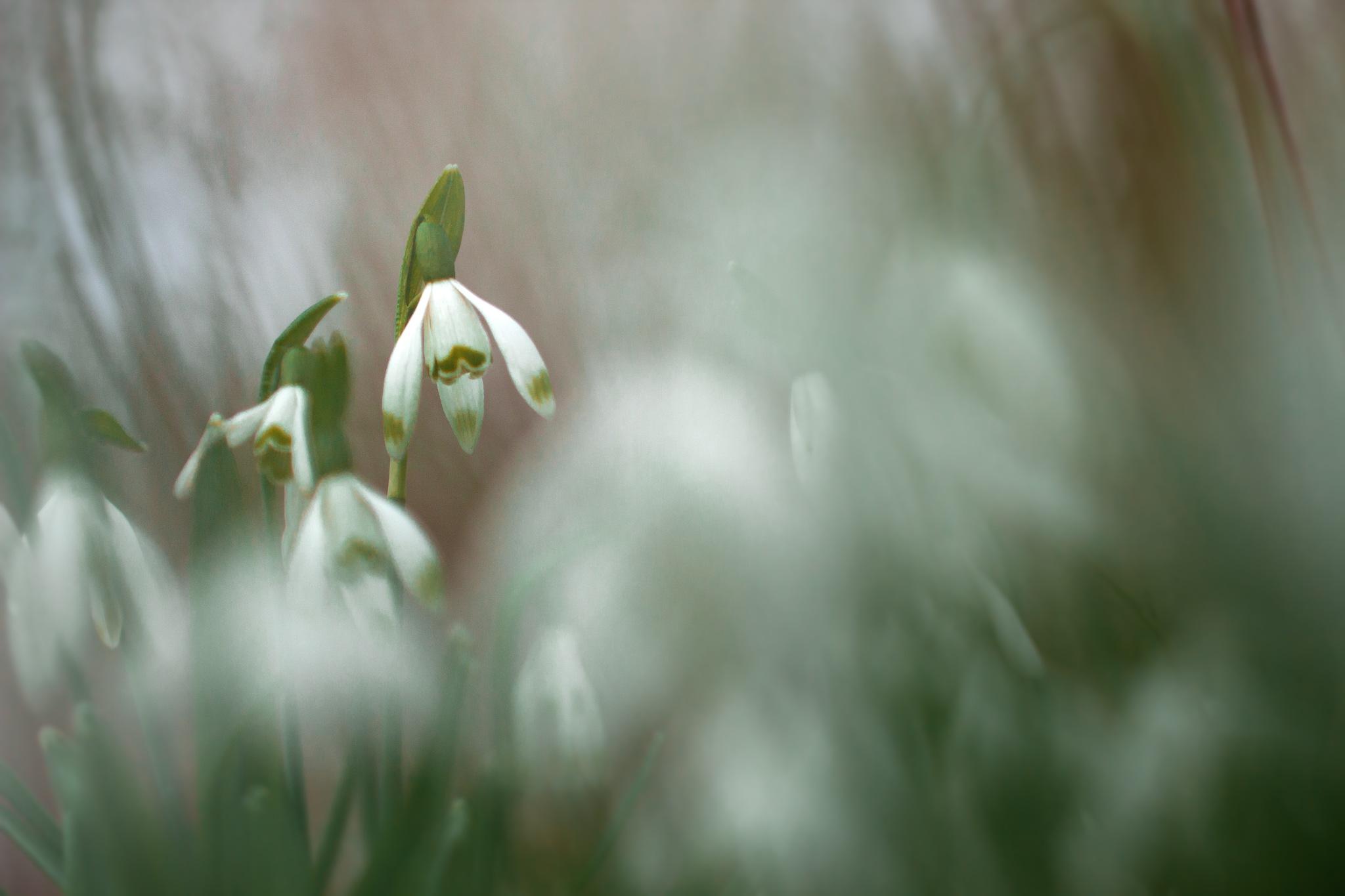 Perce-neige by Yves Droeven