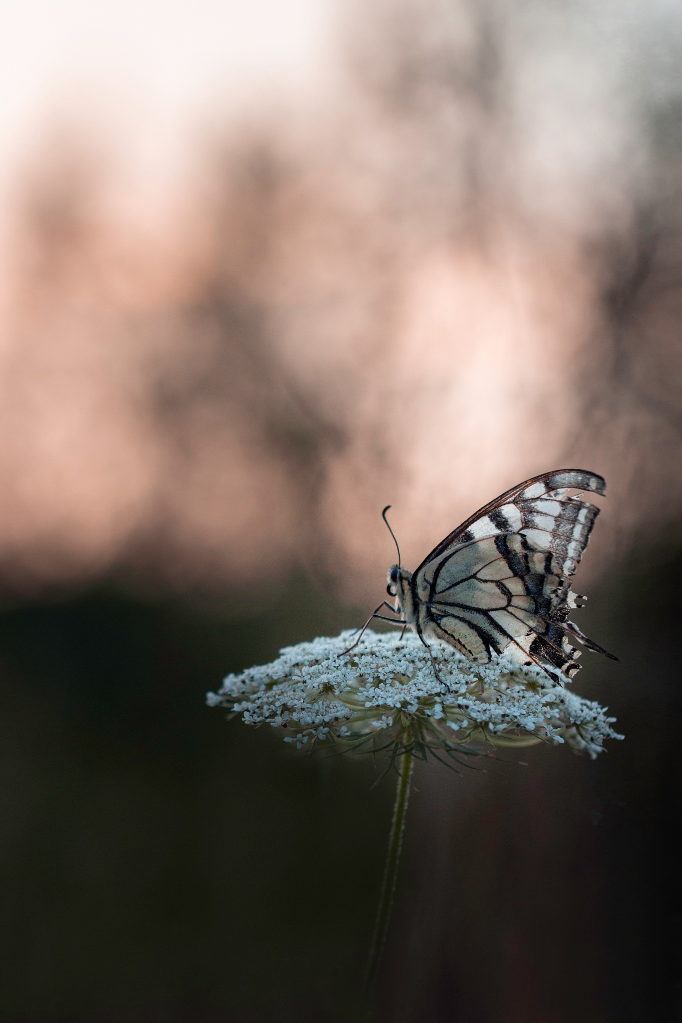 Machaon by Yves Droeven