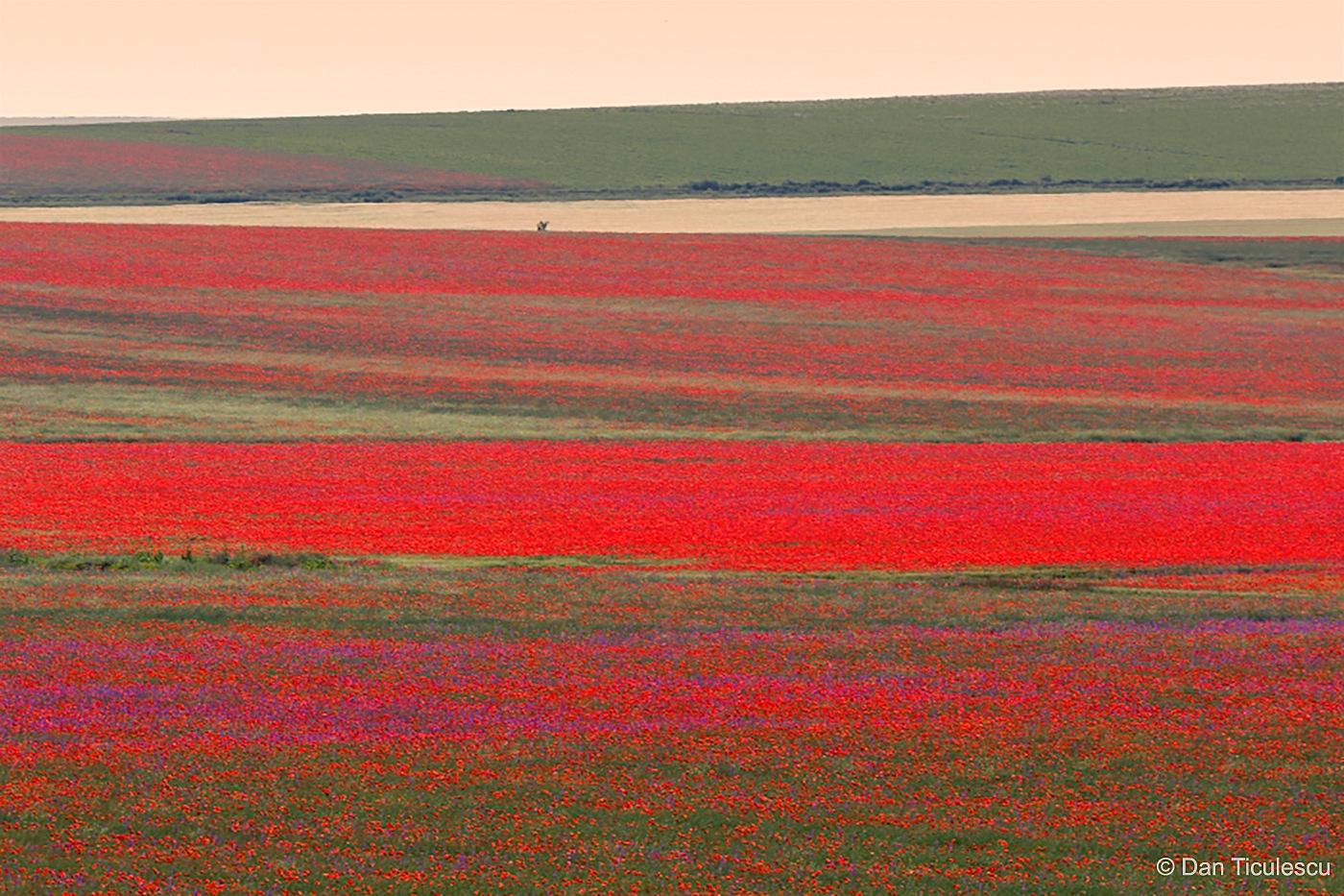 Poppies by Dan Ticulescu
