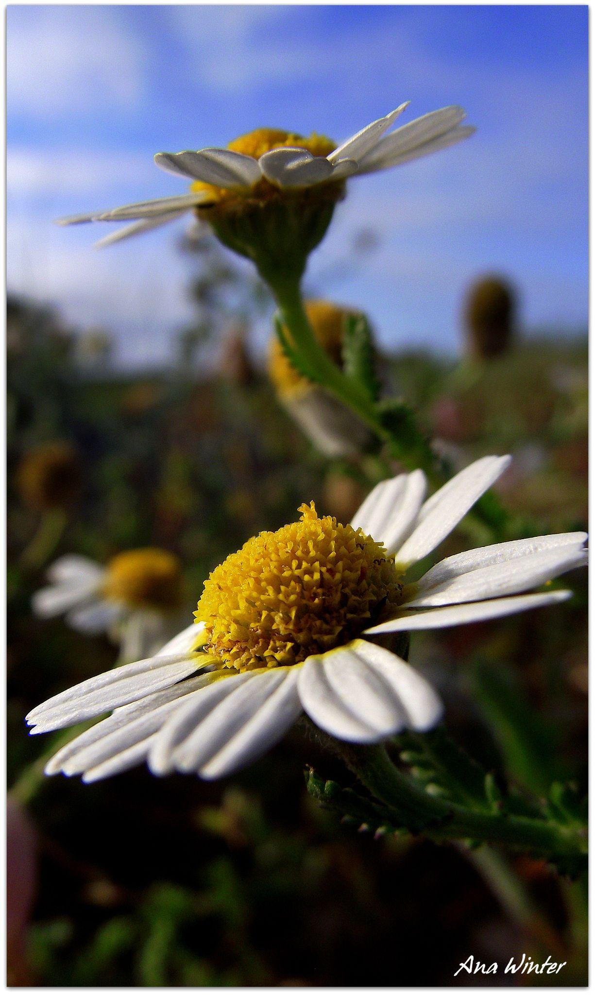 Daisy by Ana Winter