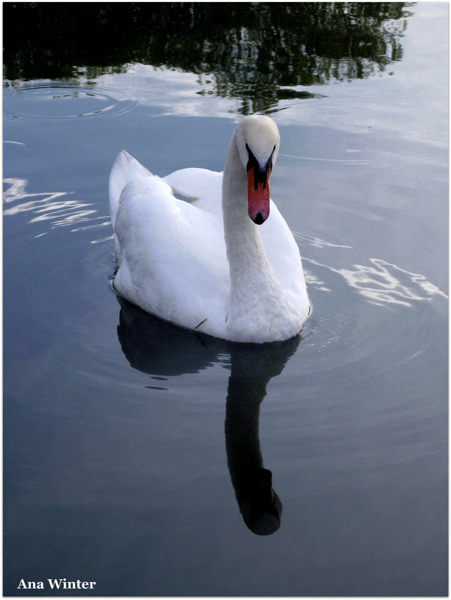 Gliding swan by Ana Winter