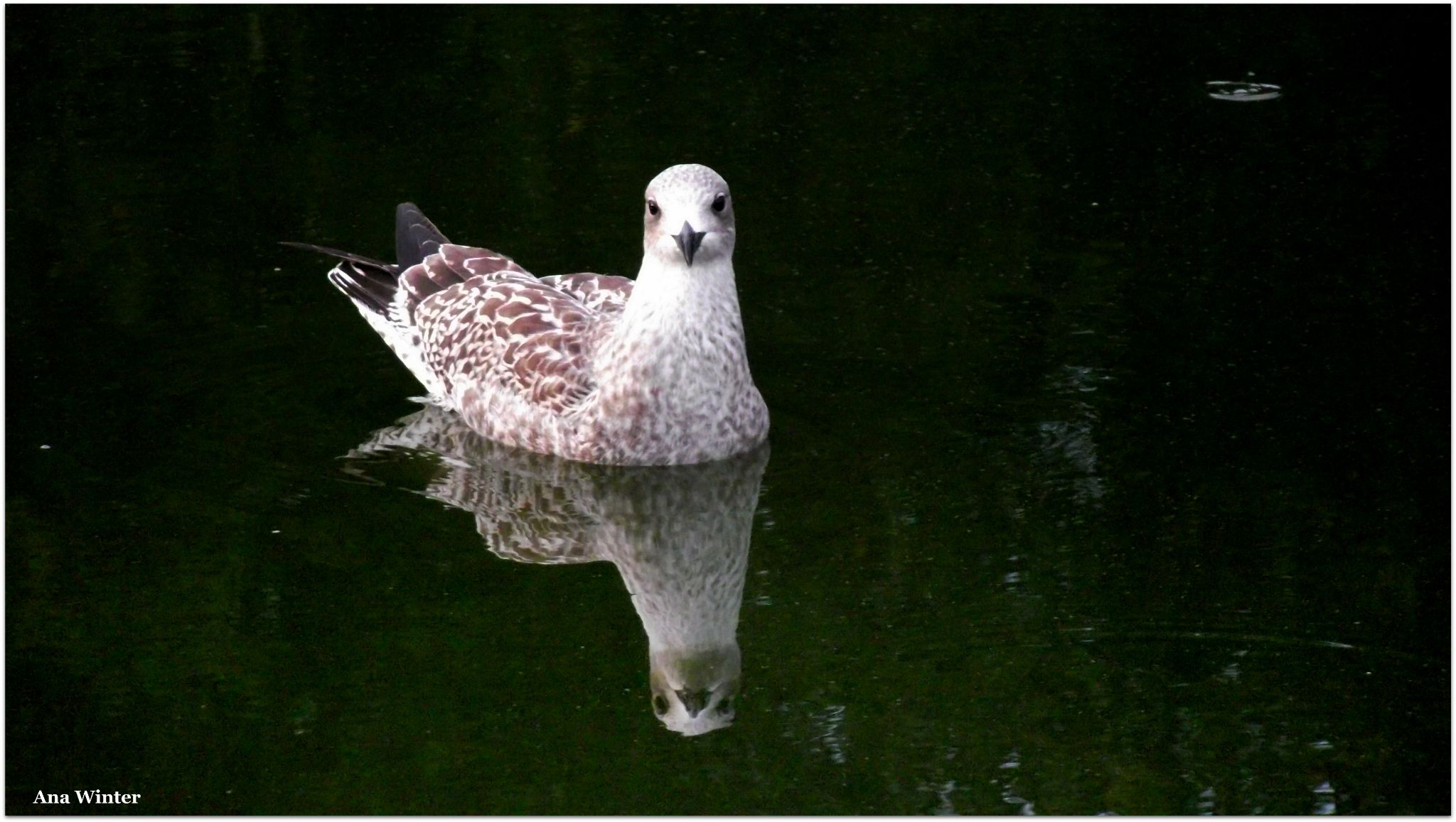 Seagull by Ana Winter