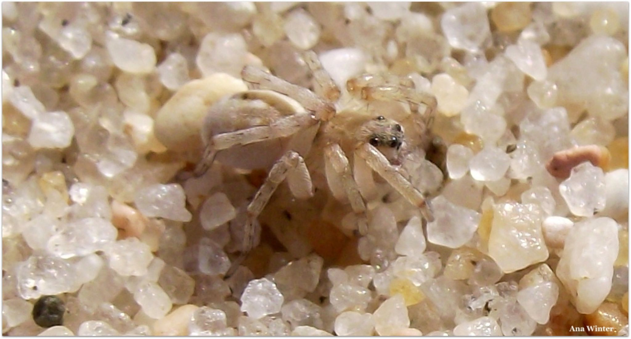 Cute Sand Spider  by Ana Winter